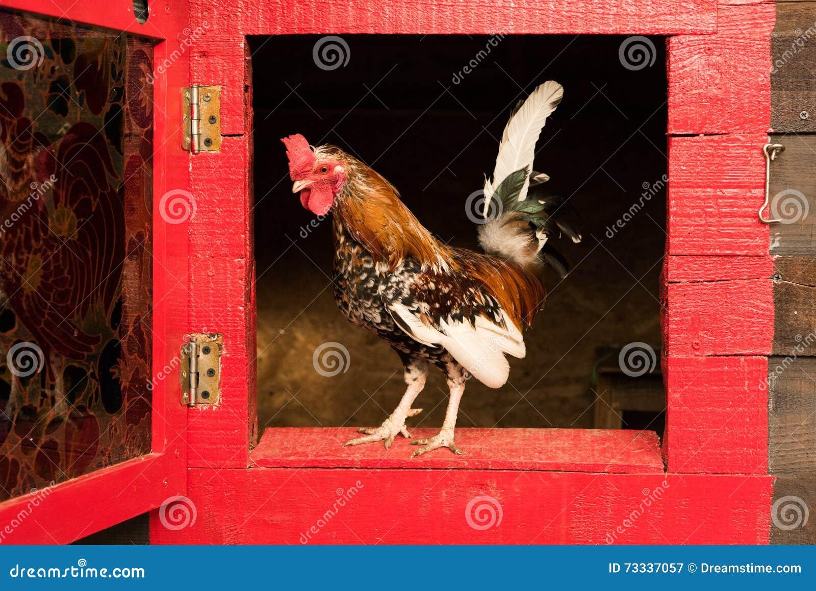 Liten rooster