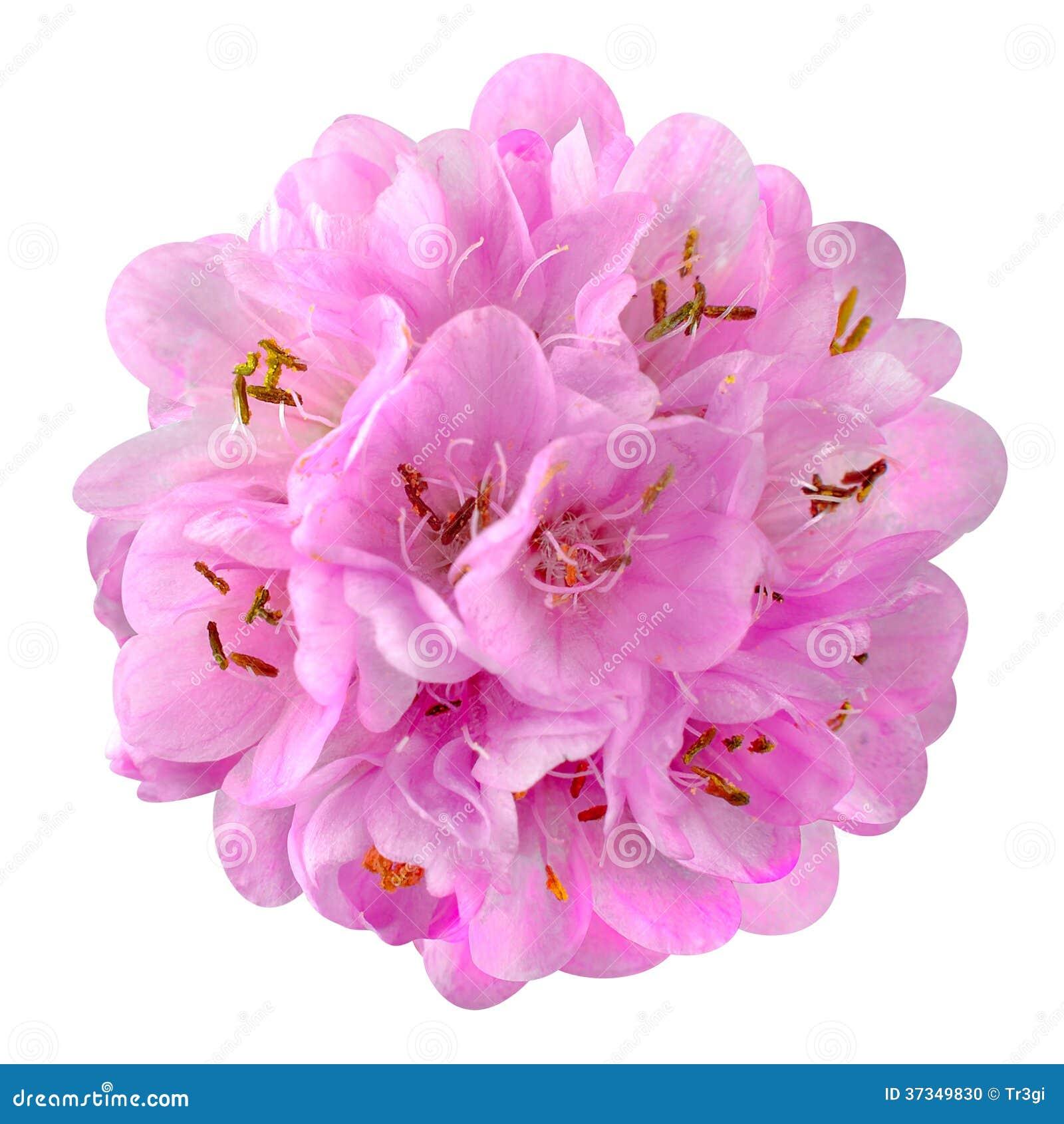 Liten rosa färgblomma - boll Dombeya som isoleras på vit