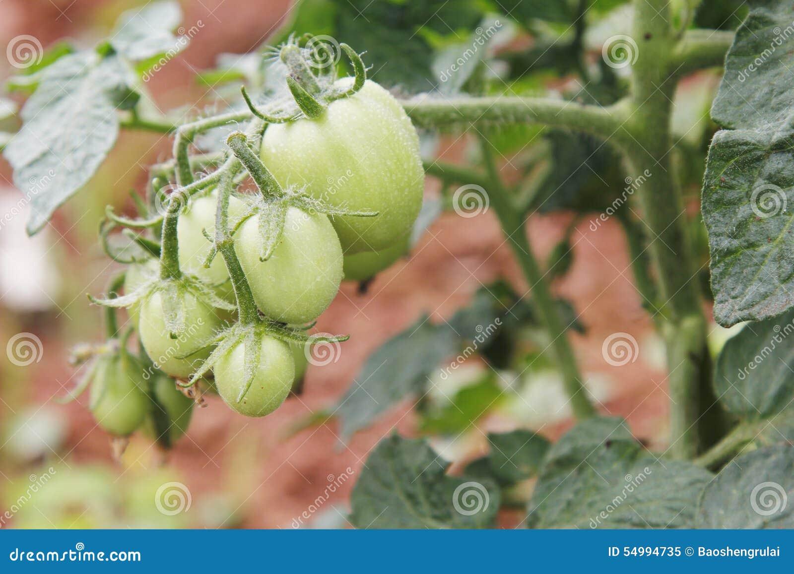 Liten tomat