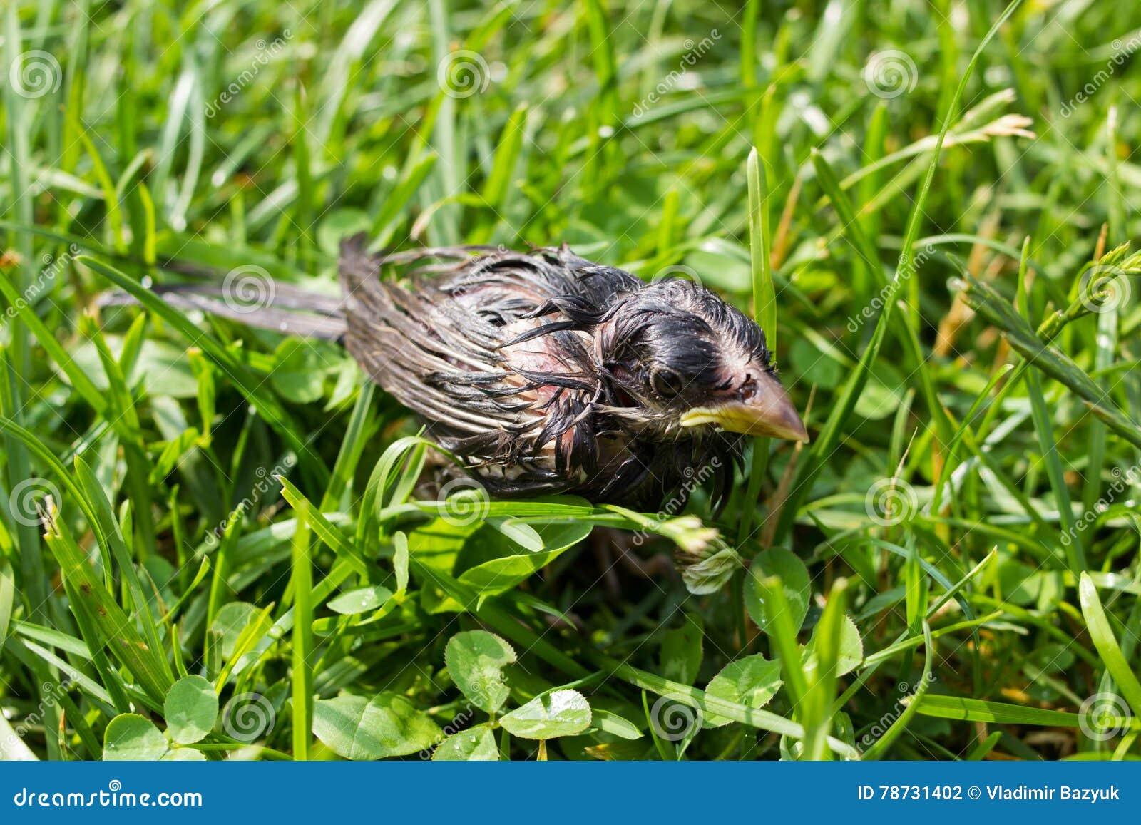 Liten våt sparvfågel