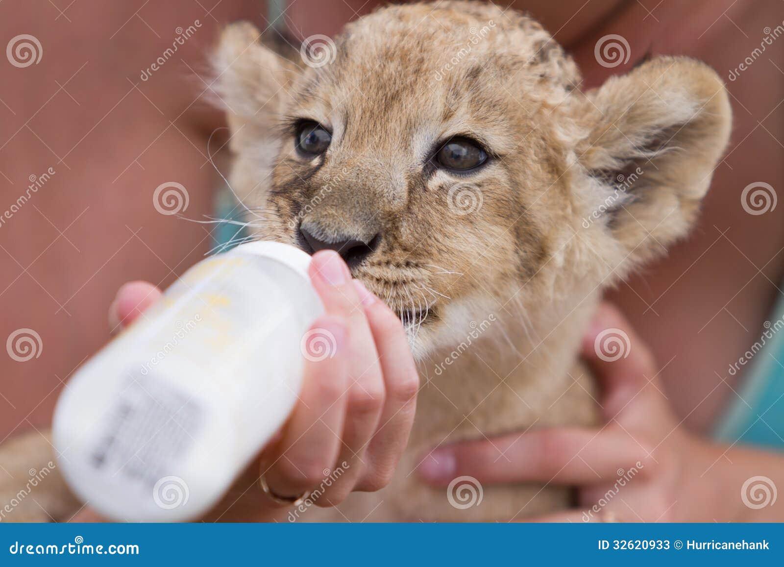 Litet dricka för lejongröngöling mjölkar