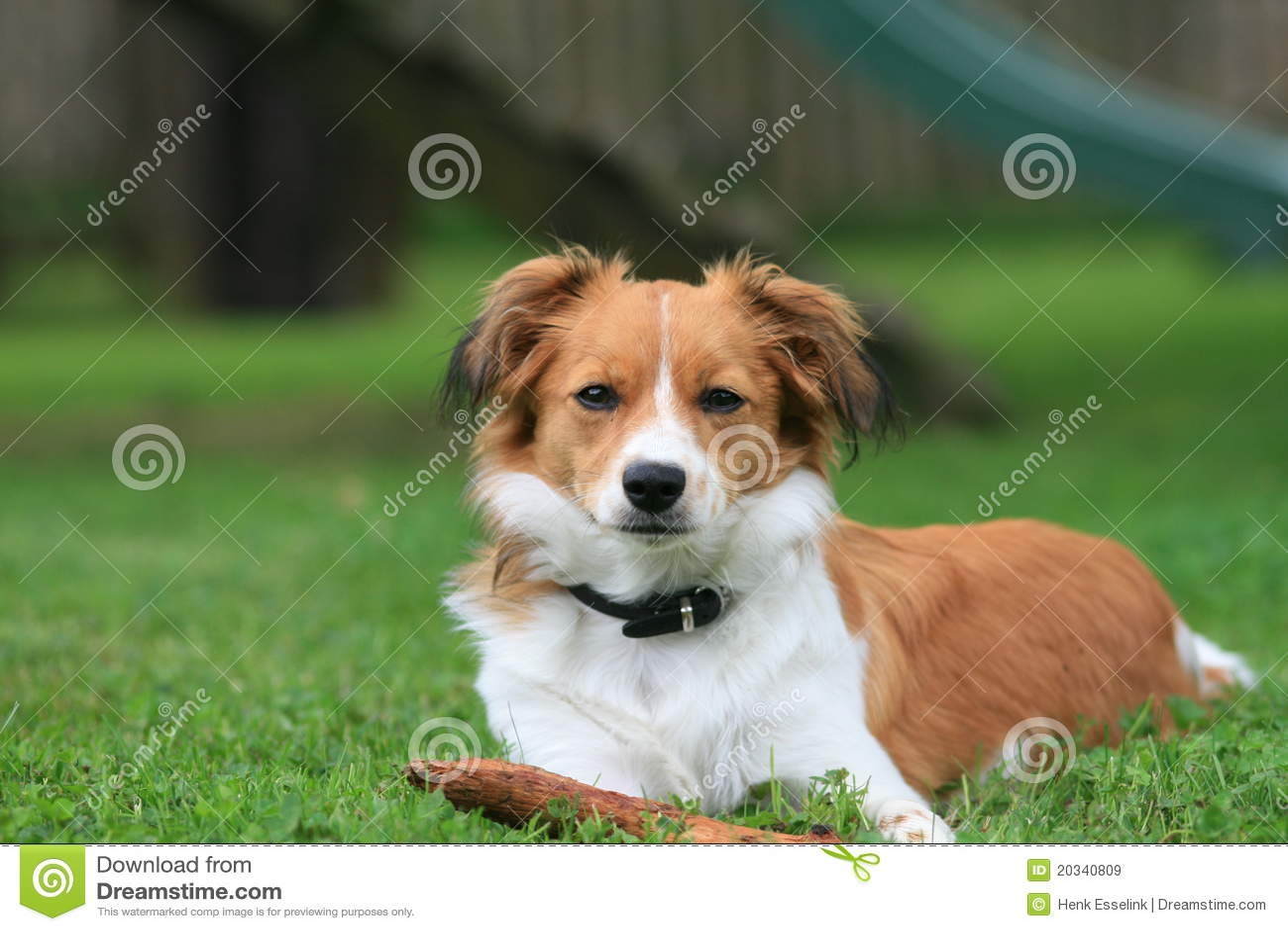 Litet hundgräs