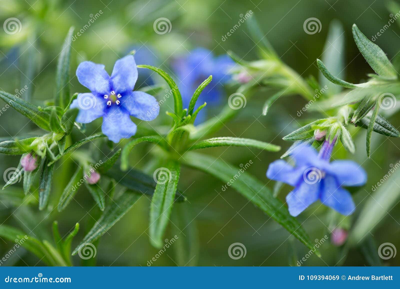 Lithodora Rosmarinifolia kwiat w kwiacie