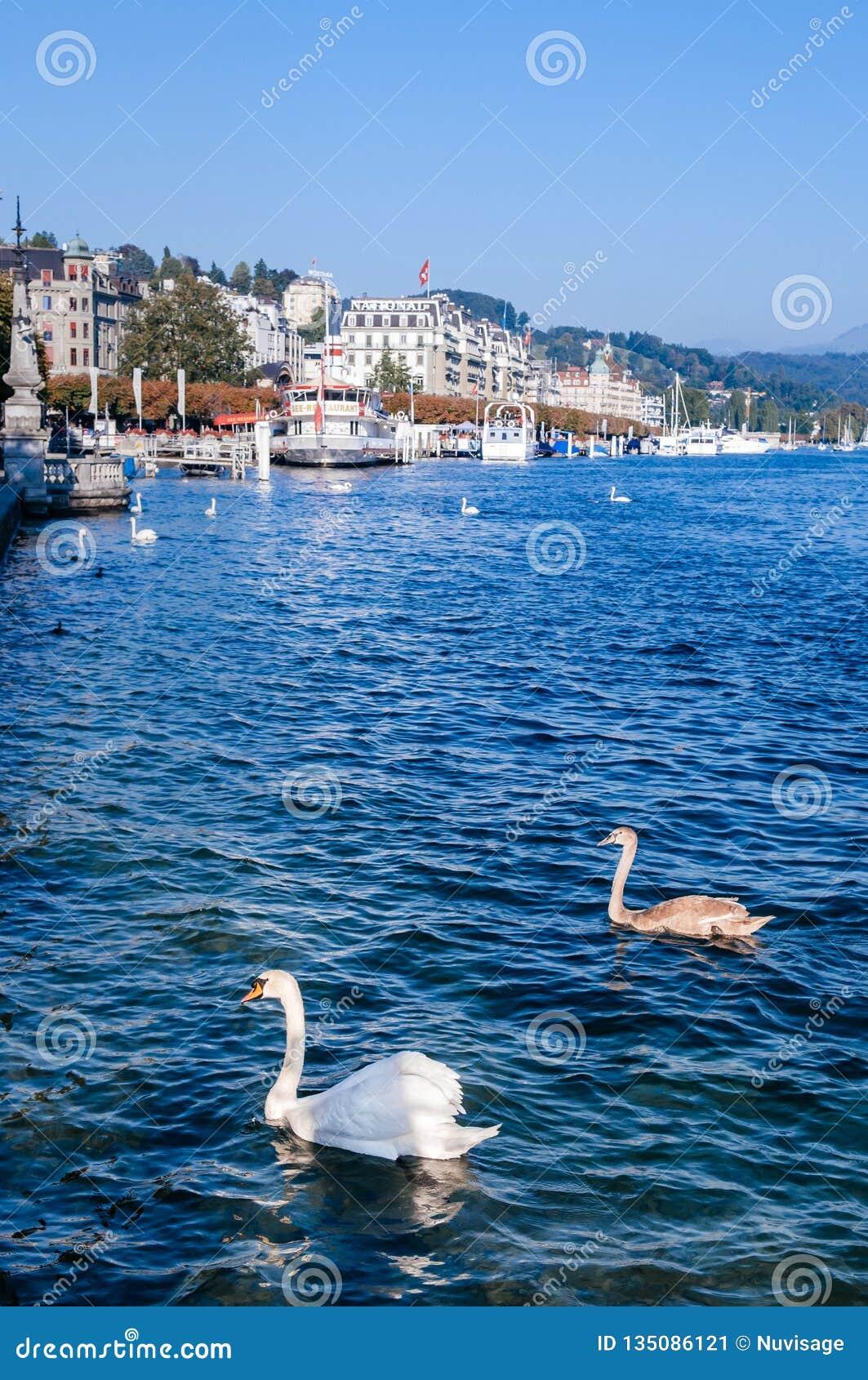 Litorale di Lucerna del lago con i cigni bianchi e le barche facenti un giro turistico al pilastro, Svizzera