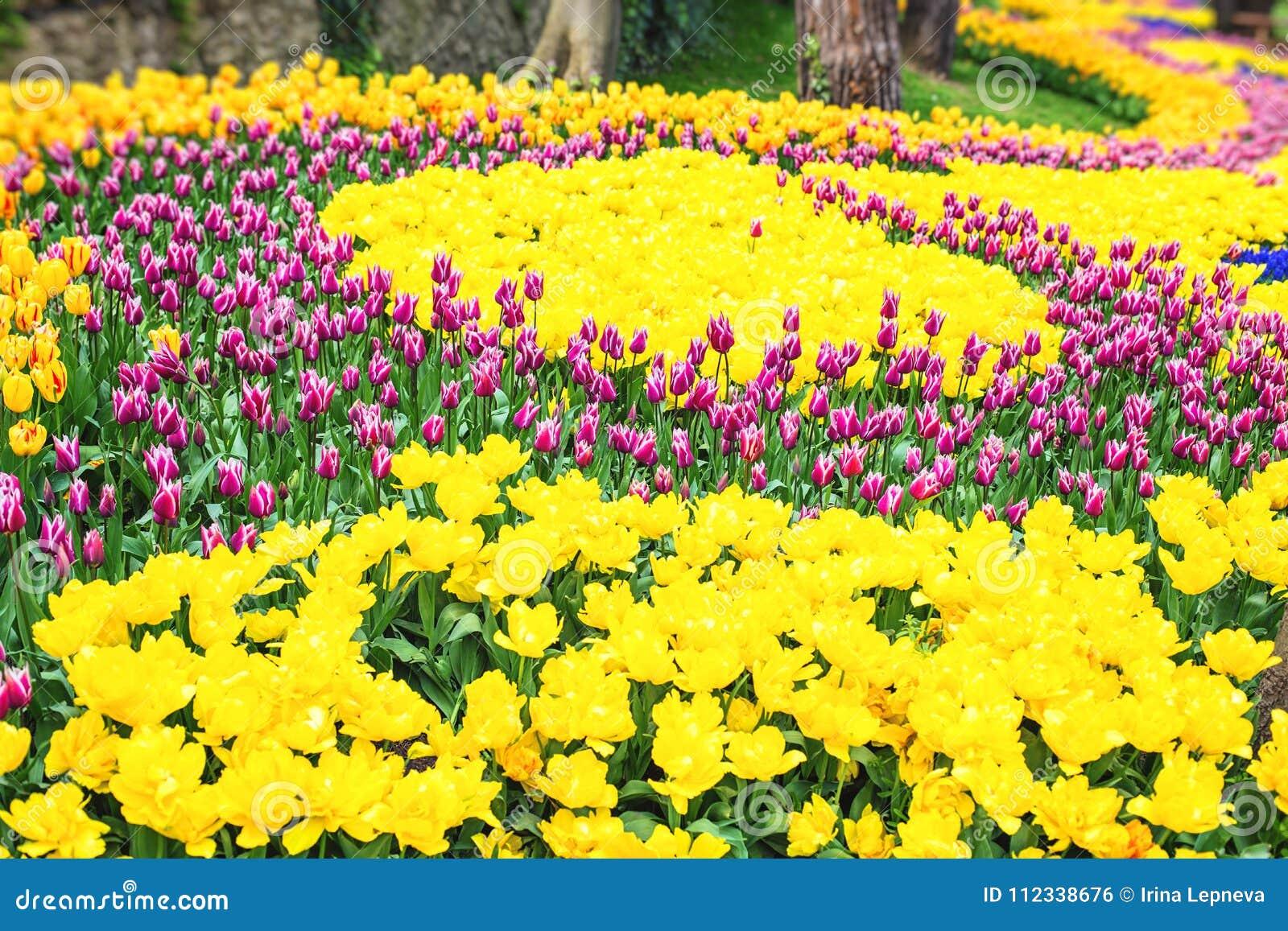 Lits De Fleur Colores Pendant Le Festival Annuel De Tulipe D Avril