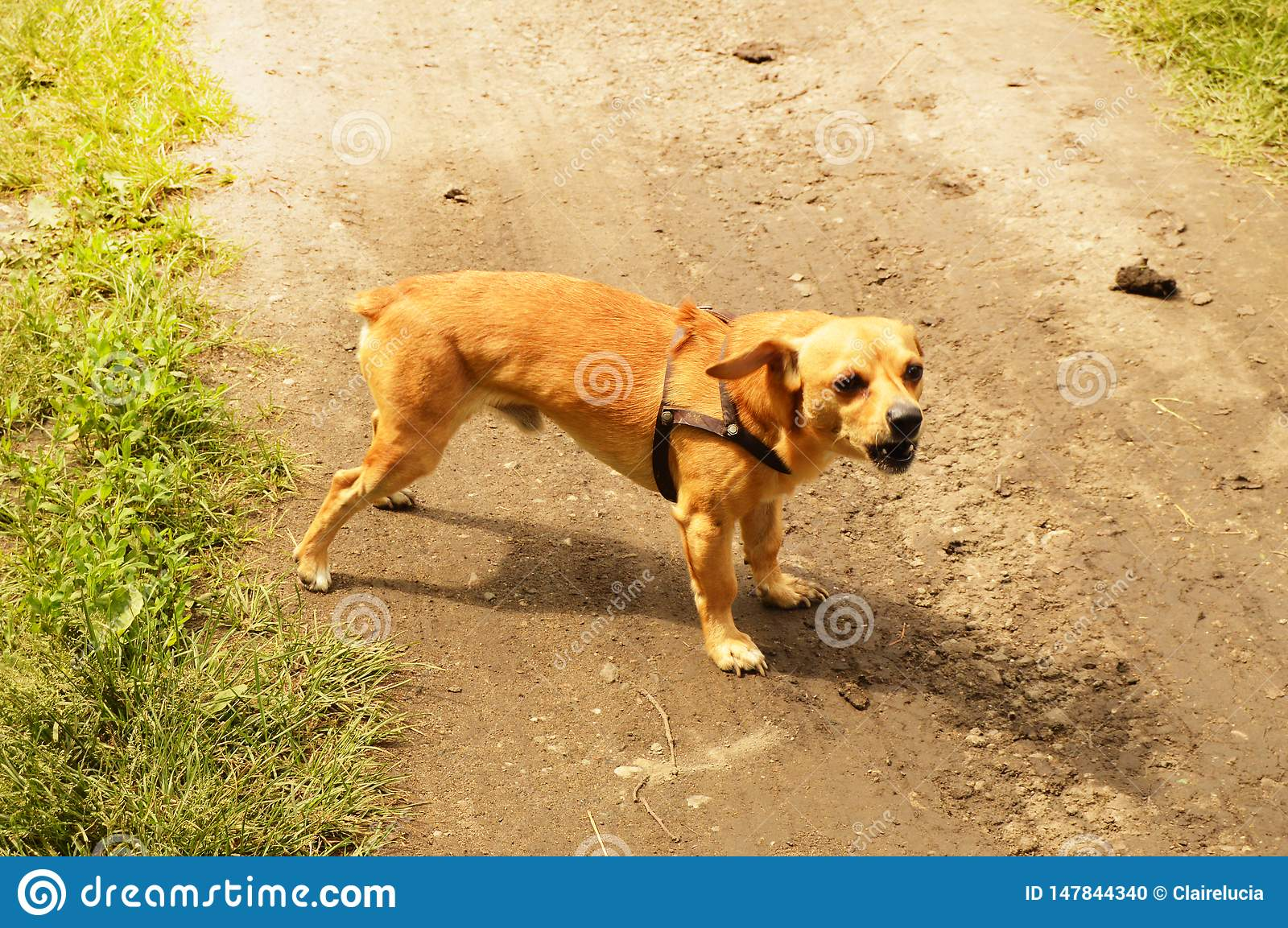 Little angry red dog stands on the road and looks aggressively, outdoors on a summer day
