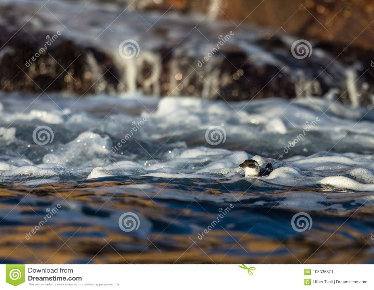 Little auk, black and white bird lying in the waves in sea near the coast