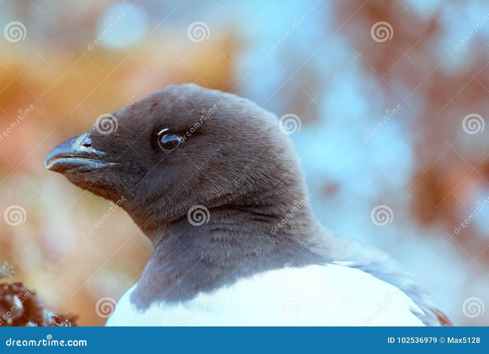 Little auk special subspecies