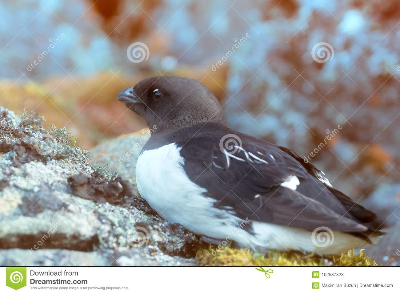Little auk special subspecies