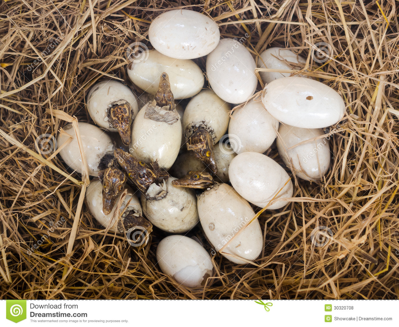 Little Baby Crocodiles Are Hatching From Eggs. Stock Photo