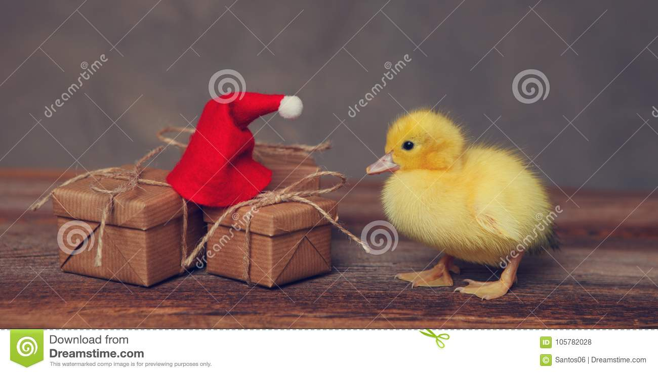 950e9b2a5 Baby duck with a santa hat stock photo. Image of conceptual - 105782028