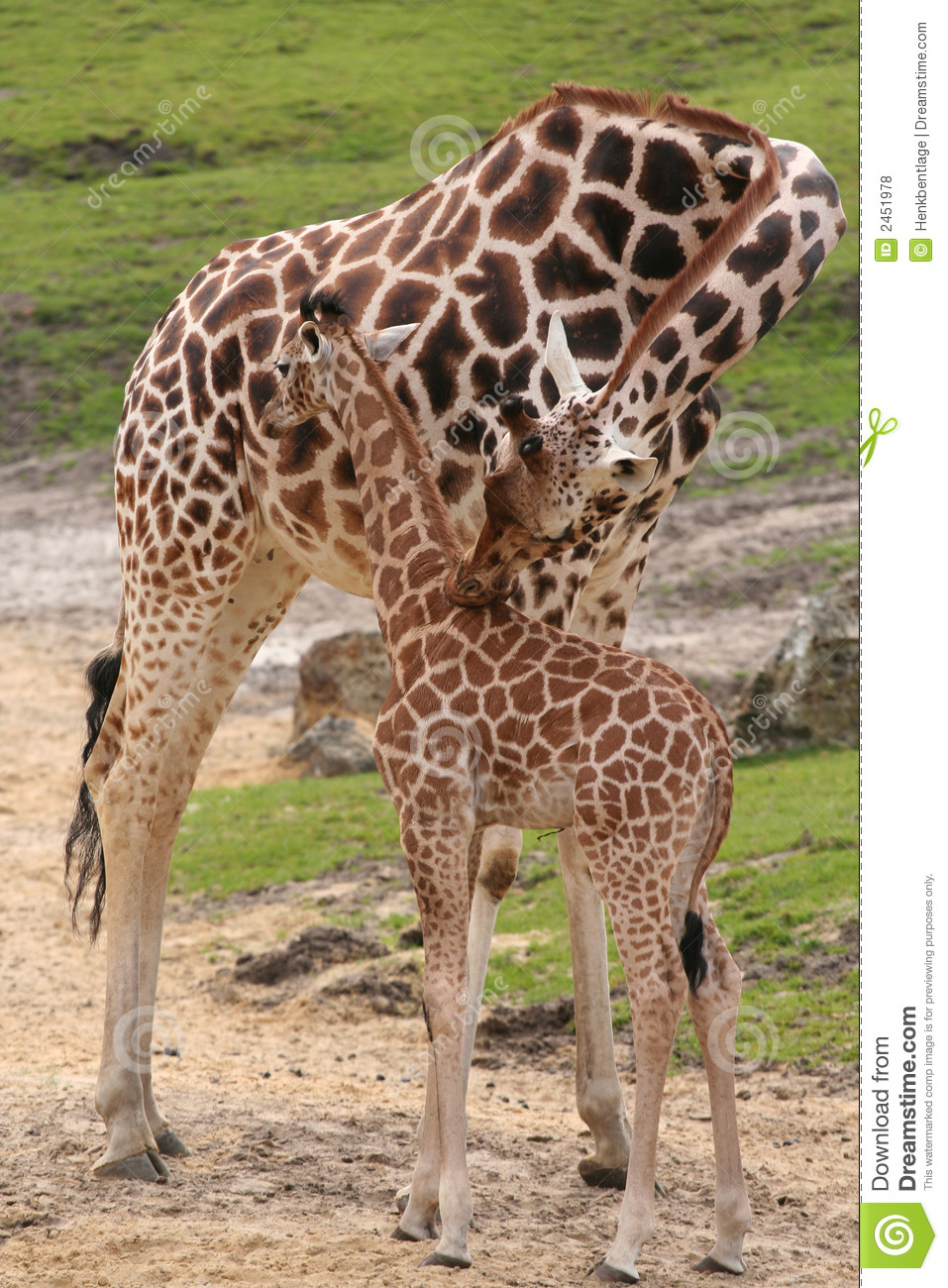 Little Baby Giraffe And Mother Stock Photo Image Of