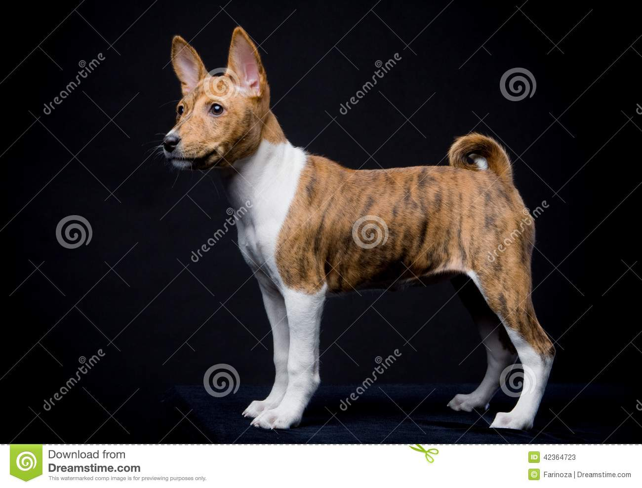 little basenji puppy on the black background stock photo