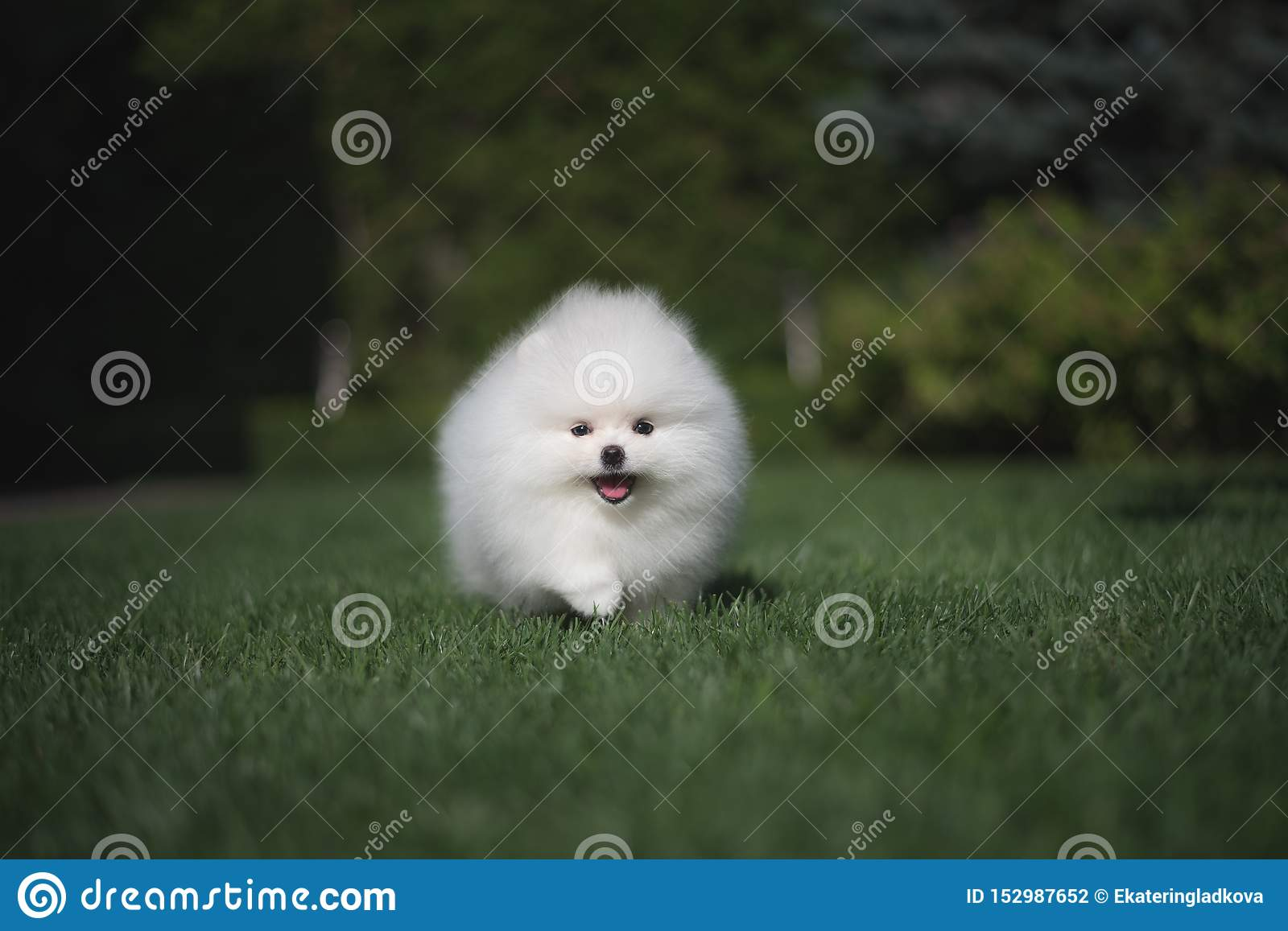 Little beautiful funny white dog German spitz puppy on green grass runs plays and sits
