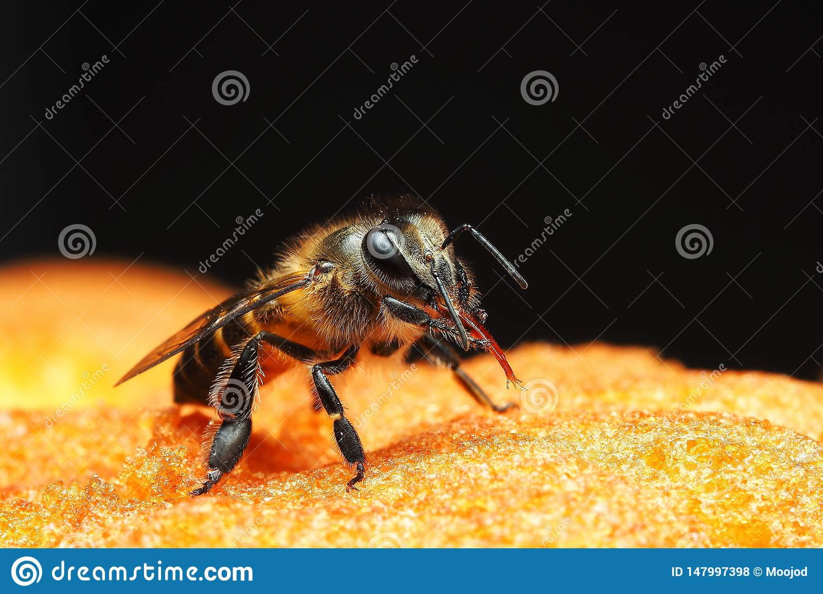 Little bee is stroking long tongue