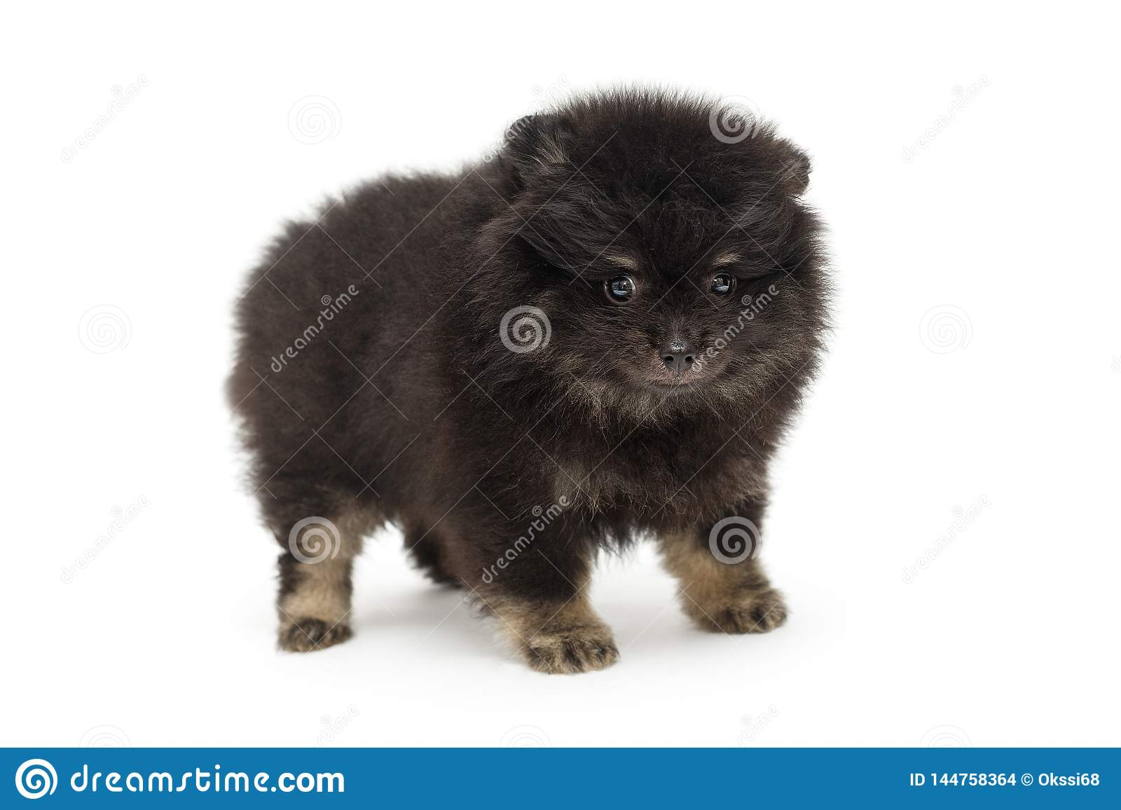 Little Black Pomeranian Puppy Stock Photo Image Of Fluffy Serious 144758364