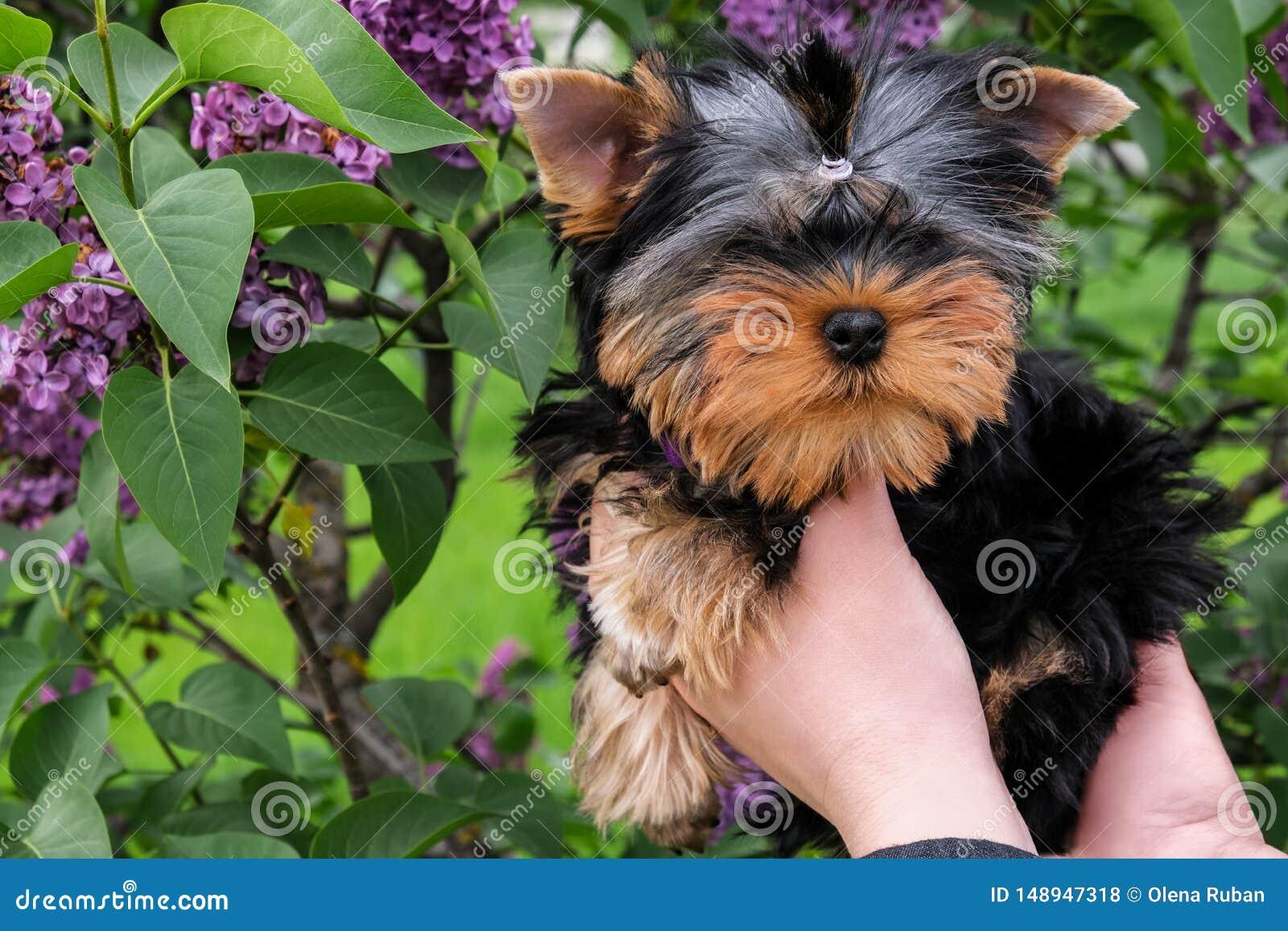 Little black puppy in female hands