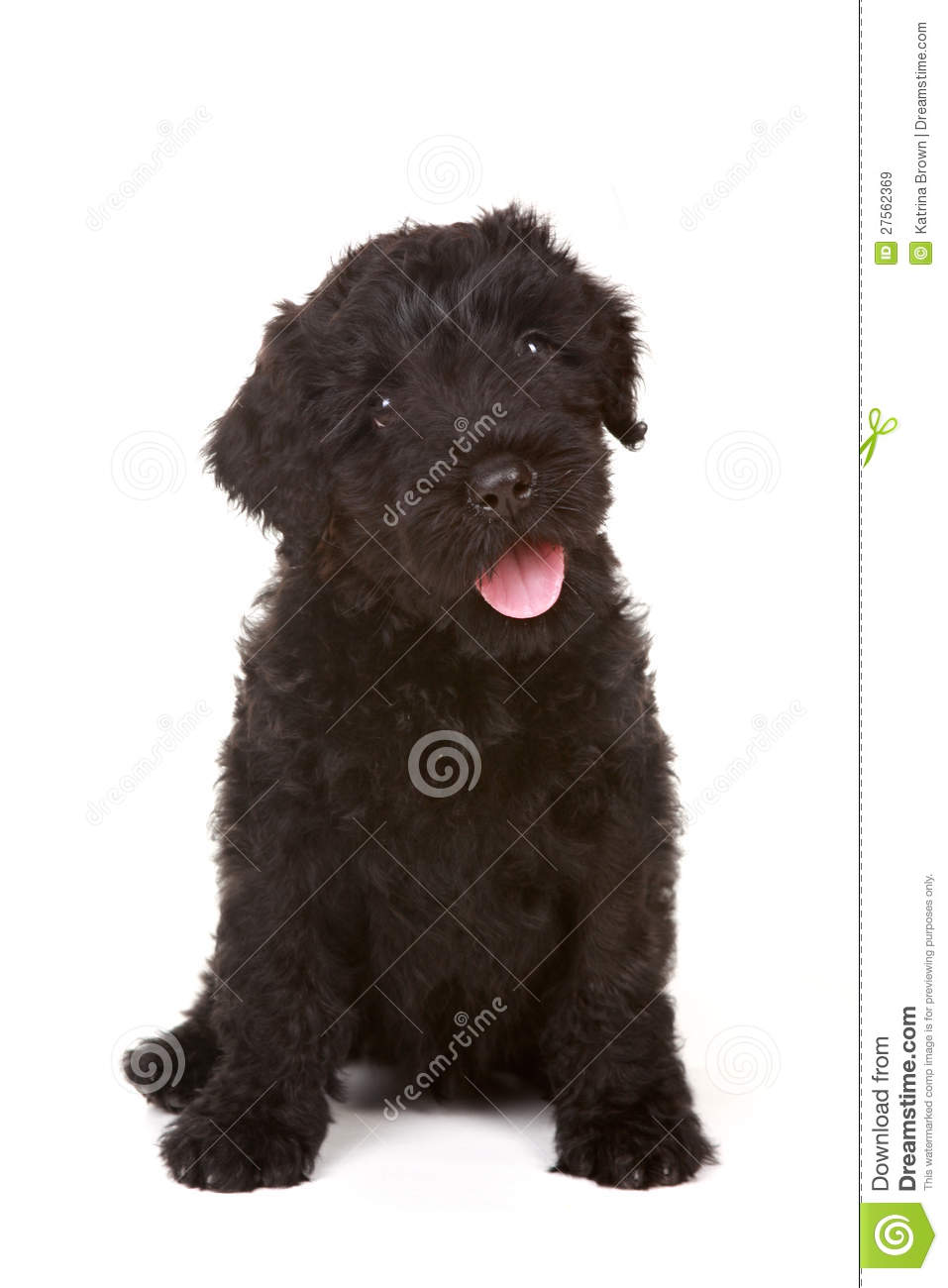 Little Black Russian Terrier Puppy On White Backgr Royalty