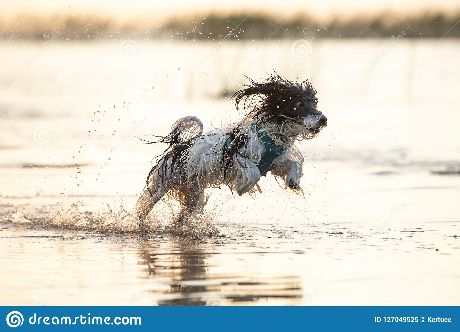 Little black and white dog running around in shallow waters.
