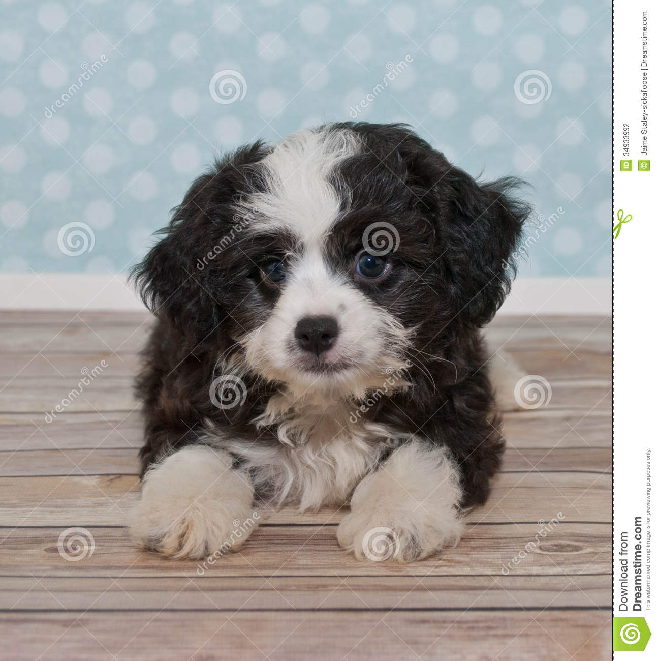 little black a white puppy stock photo image of animal 34933992