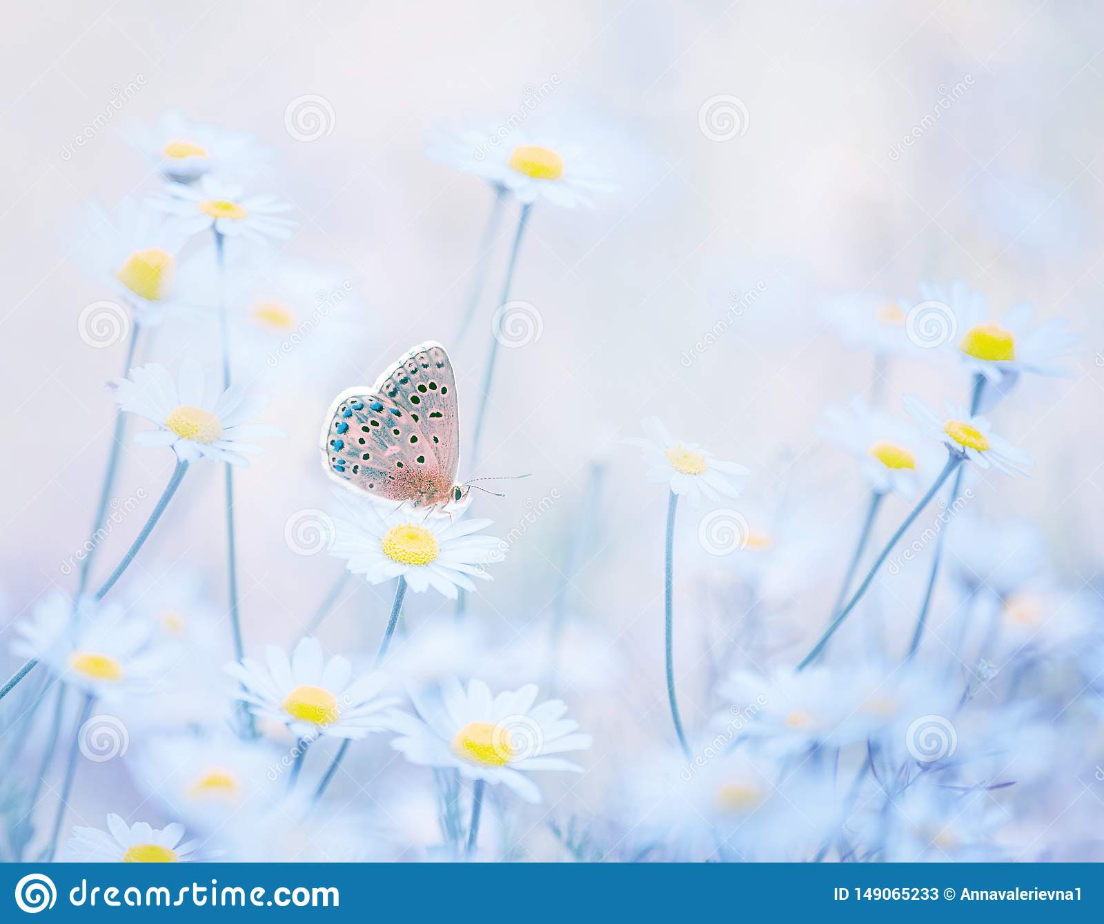 Little blue butterfly bluehead on daisy flowers in a meadow. Artistic tender photo.