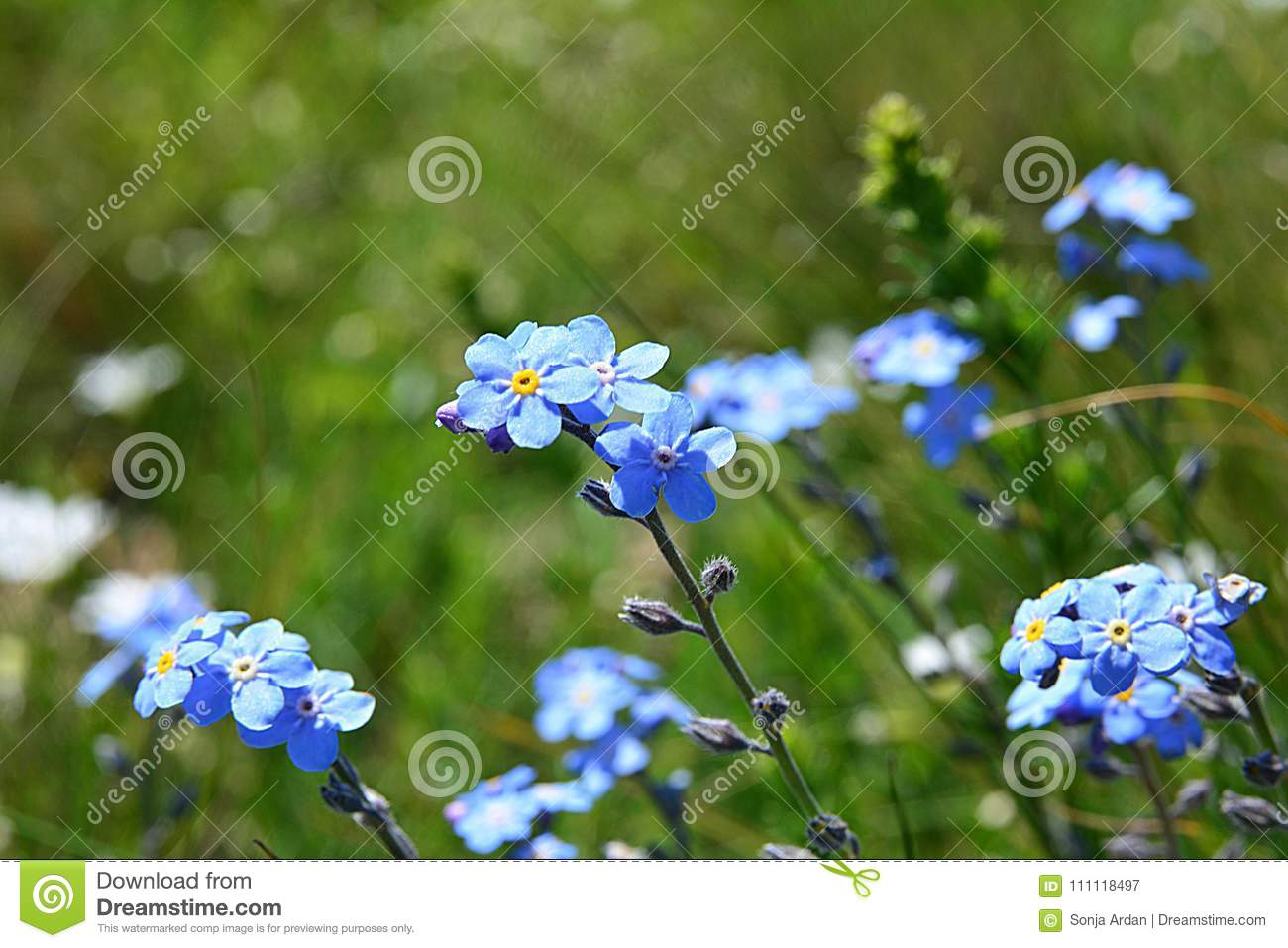 Small Blue Flowers Swaying In The Wind Stock Image Image Of