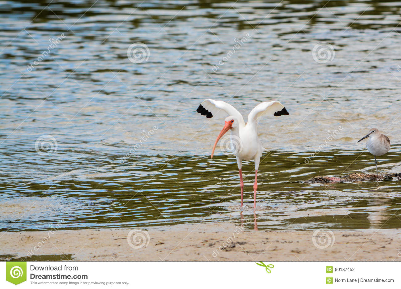 Little Blue Heron At The Lemon Bay Aquatic Reserve In The