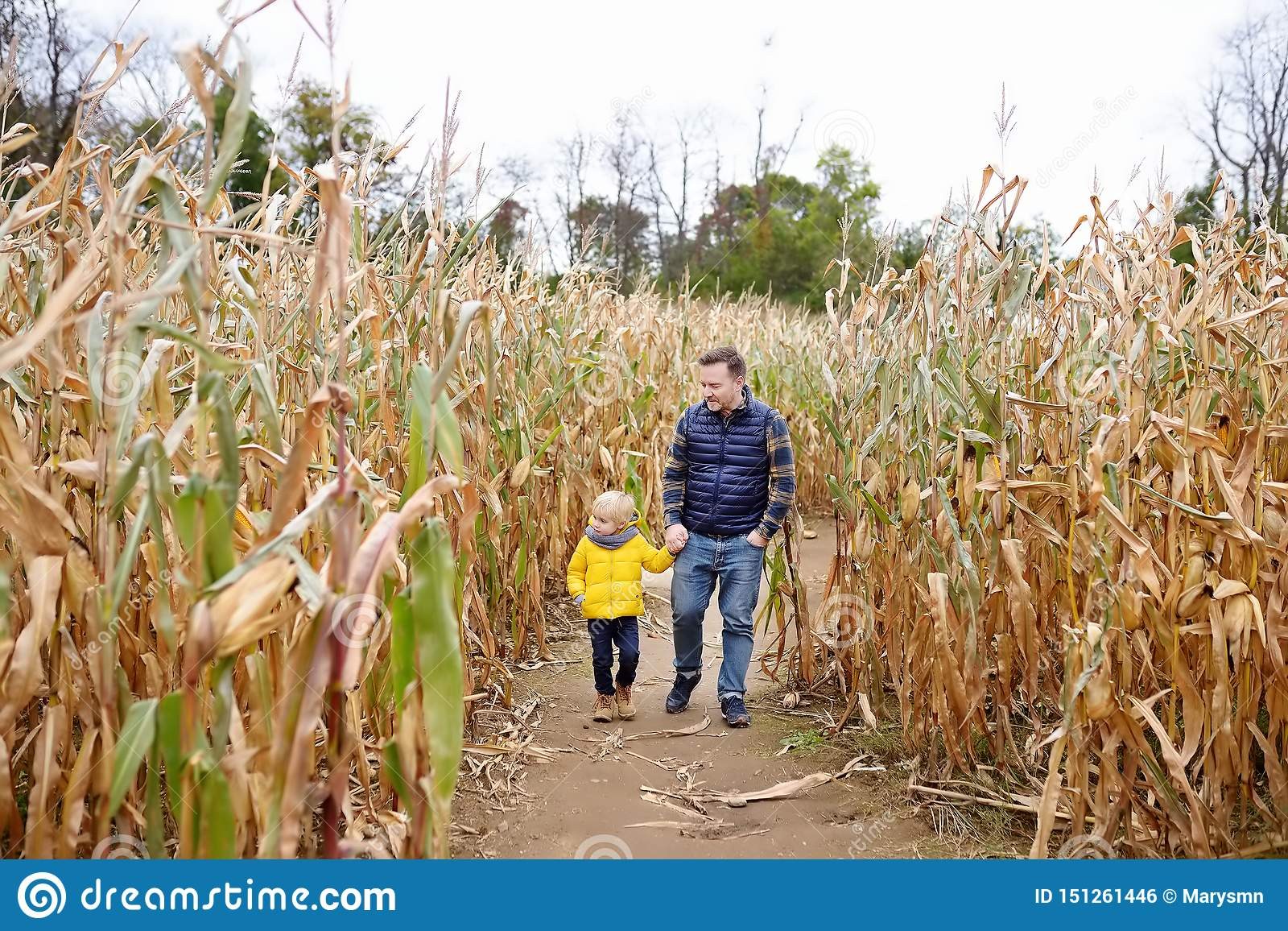 Little boy and his father having fun on pumpkin fair at autumn. Family walking among the dried corn stalks in a corn maze.