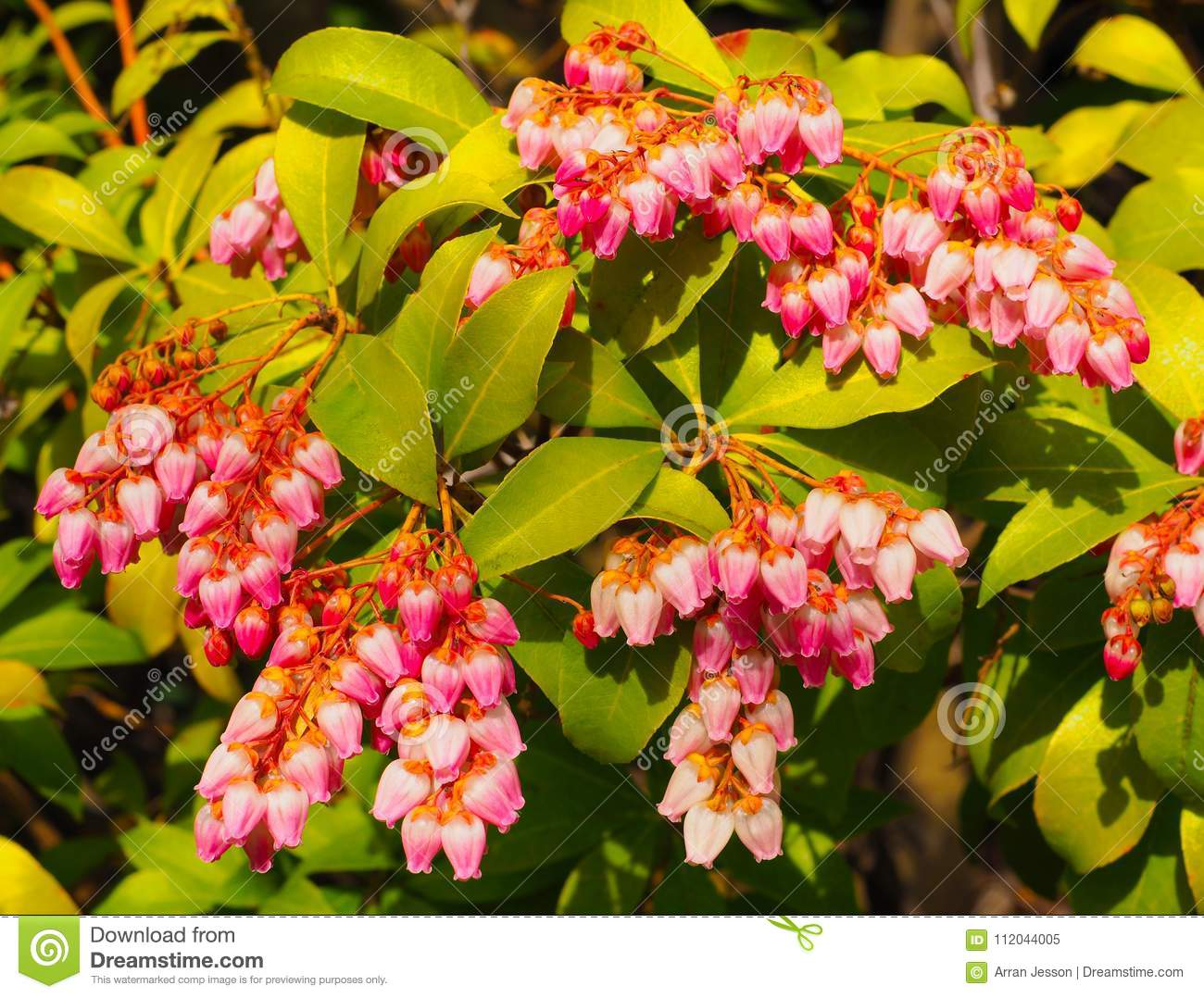 Little Bright Pink Bell Flowers On A Pieris Japonica Bush Stock