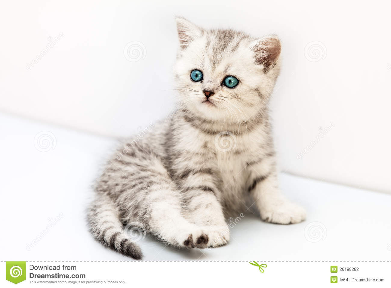 Little British Domestic Silver Tabby Cat Stock Photography ... Tabby Cat Sitting Up