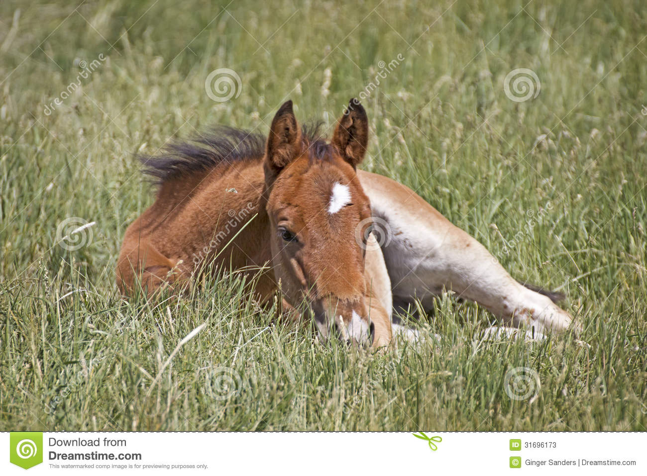 Little Brown Baby Horse Sleeping In Grass Stock Image Image Of Horse Space 31696173