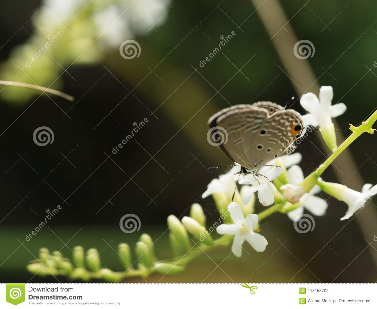 The Little Brown Butterfly Sucking Nectar