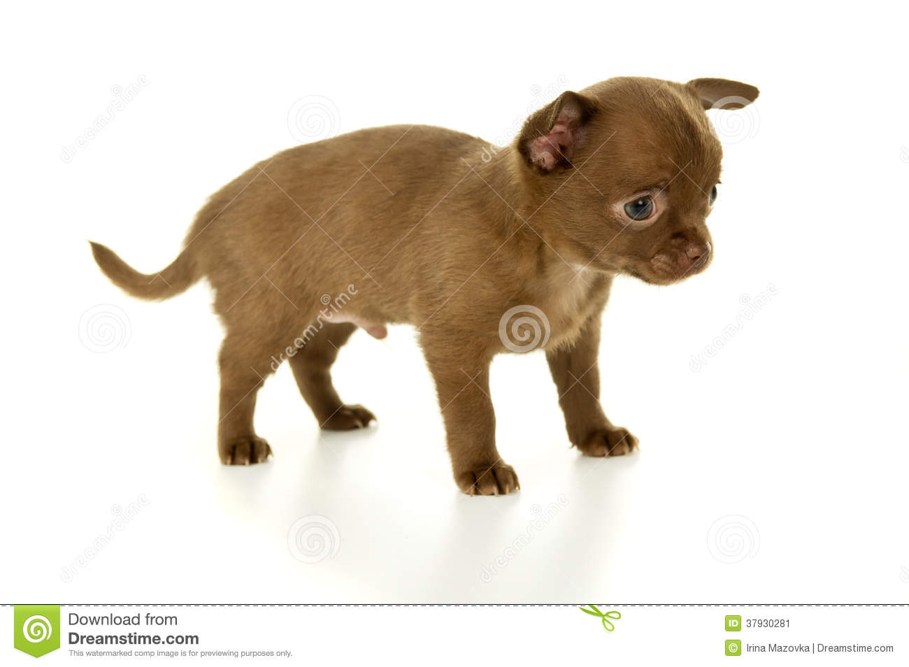 Little brown color Chihuahua puppy