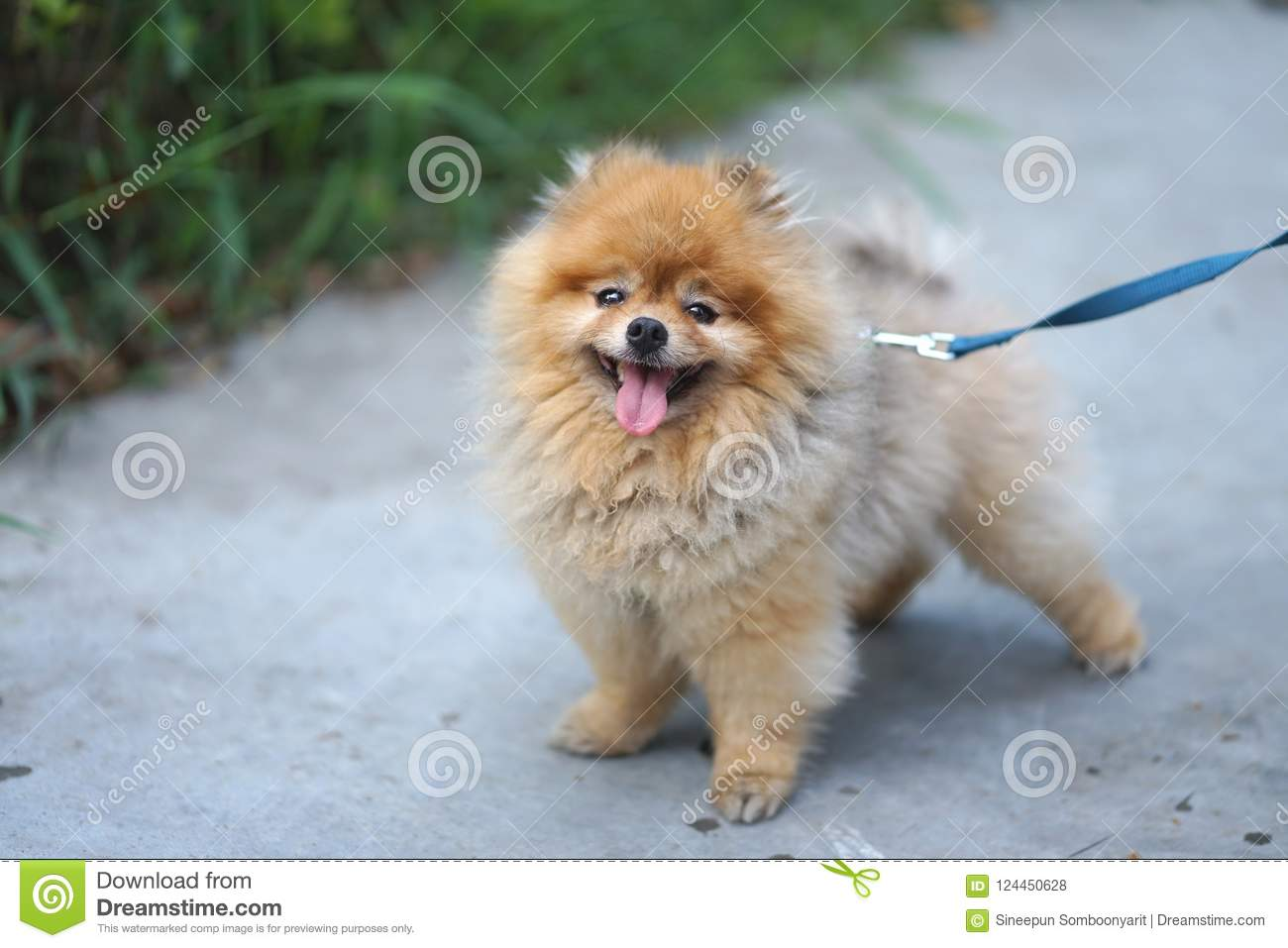 Little Brown Color Pomeranian Dog With Happy Smile Face Standing