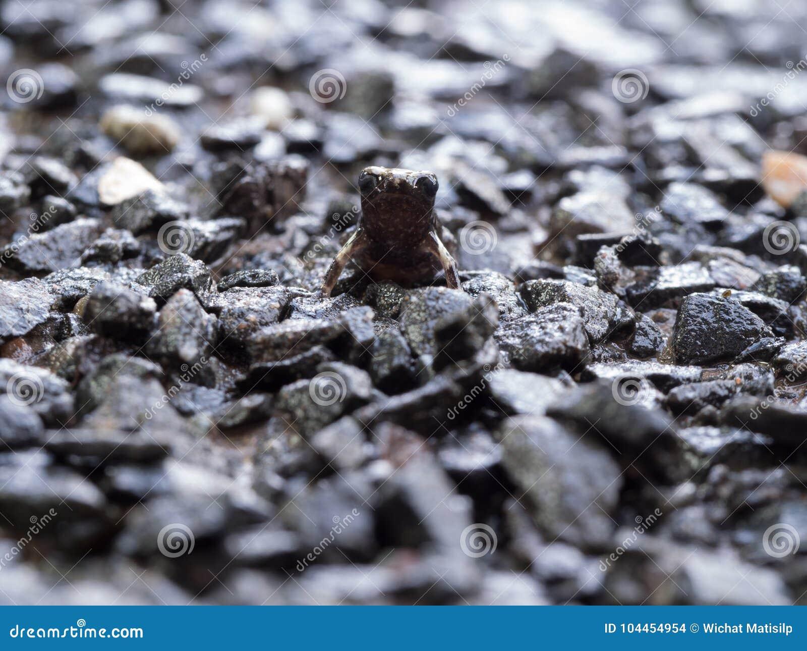 Little Bullfrog Sitting on The Stone Ground