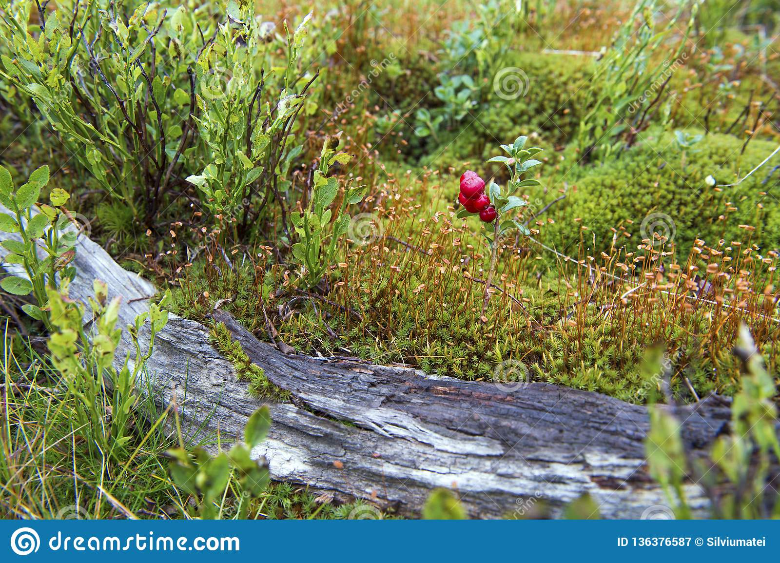 Little bush of cranberries in a forest mountain in autumn.