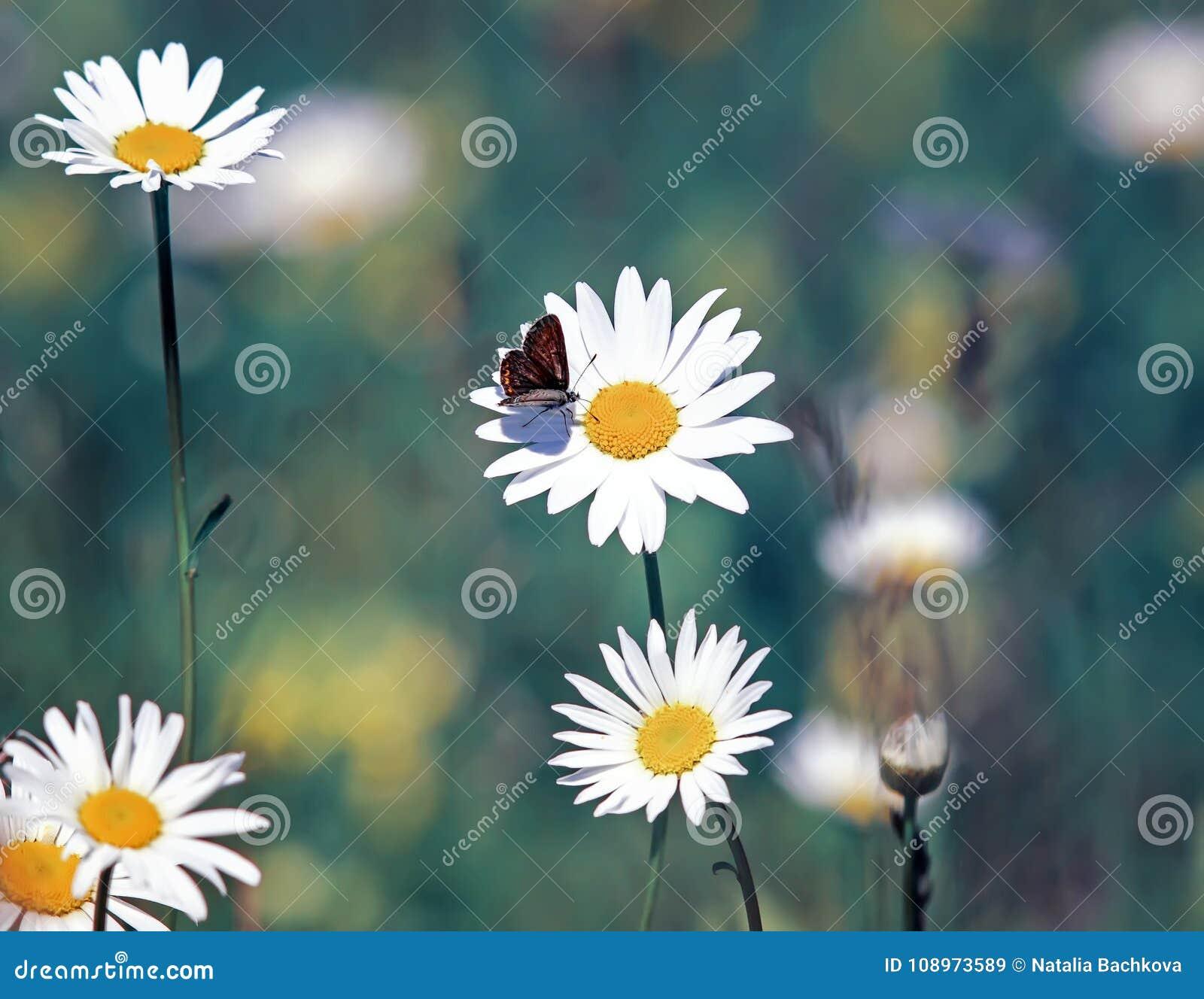 Little butterfly sitting on a daisy flower on a summer stock image little butterfly sitting on a daisy flower on a summer izmirmasajfo