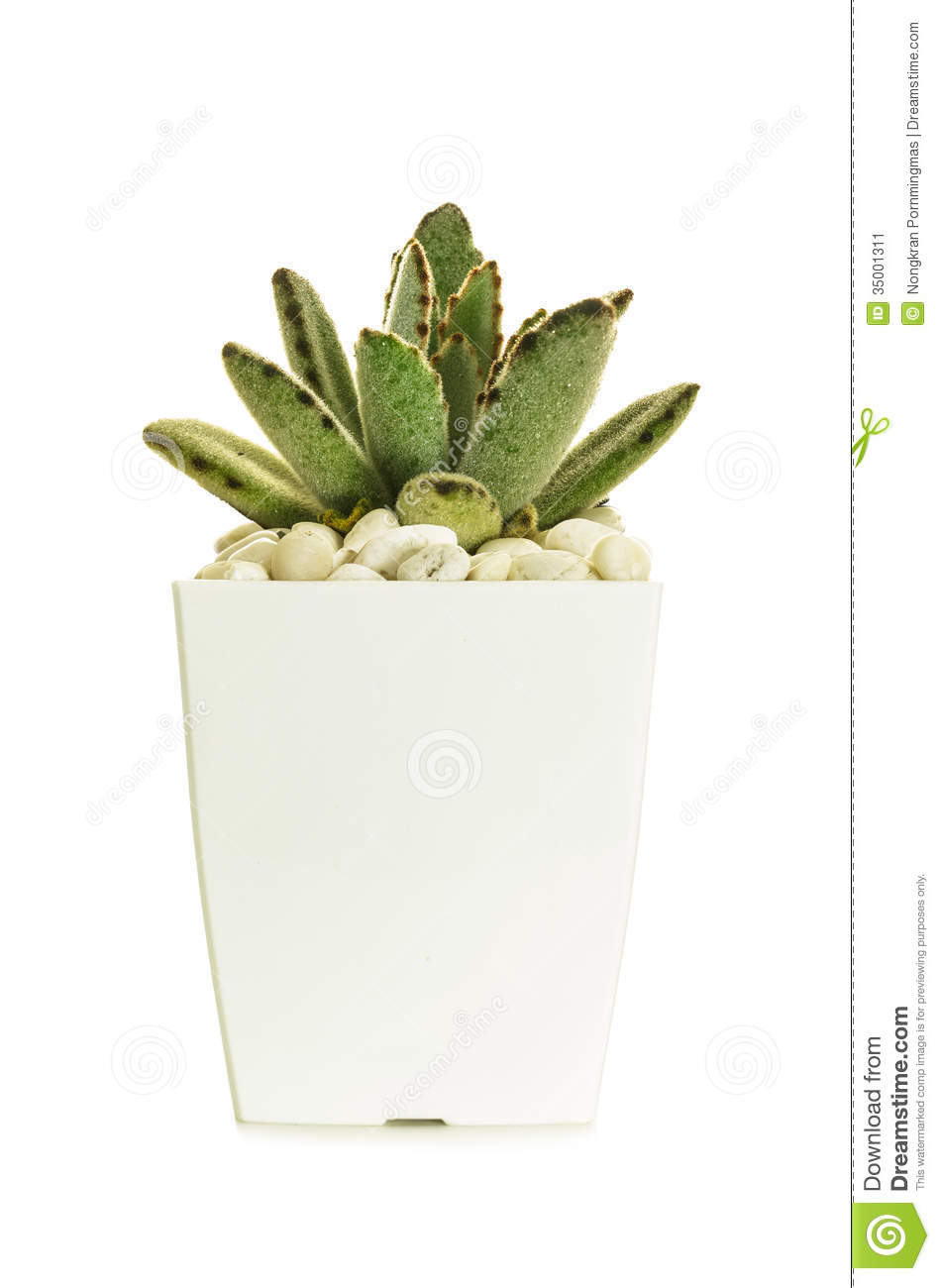 little cactus with pebble in white pot isolate on white