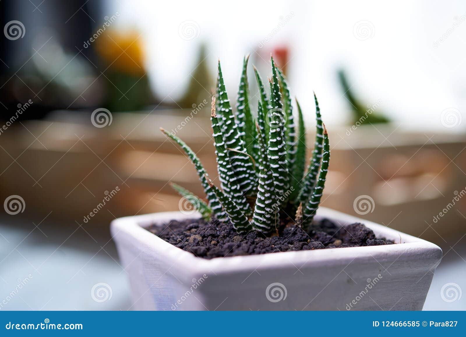 Cactus Zebra Plant Propagation Stock Image Image Of Cactus Pattern 124666585