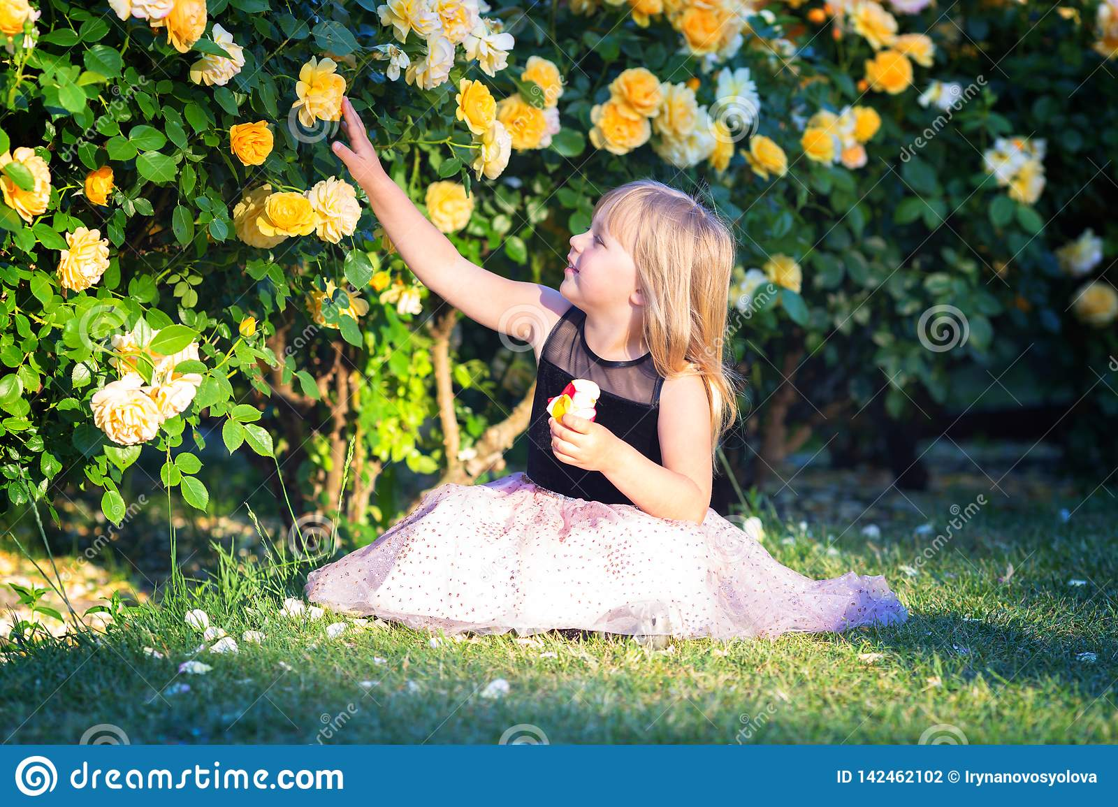 Little Caucasian girl sits on green grass in a rose garden next to yellow roses bush. Touches a rose and looks at it, smiling