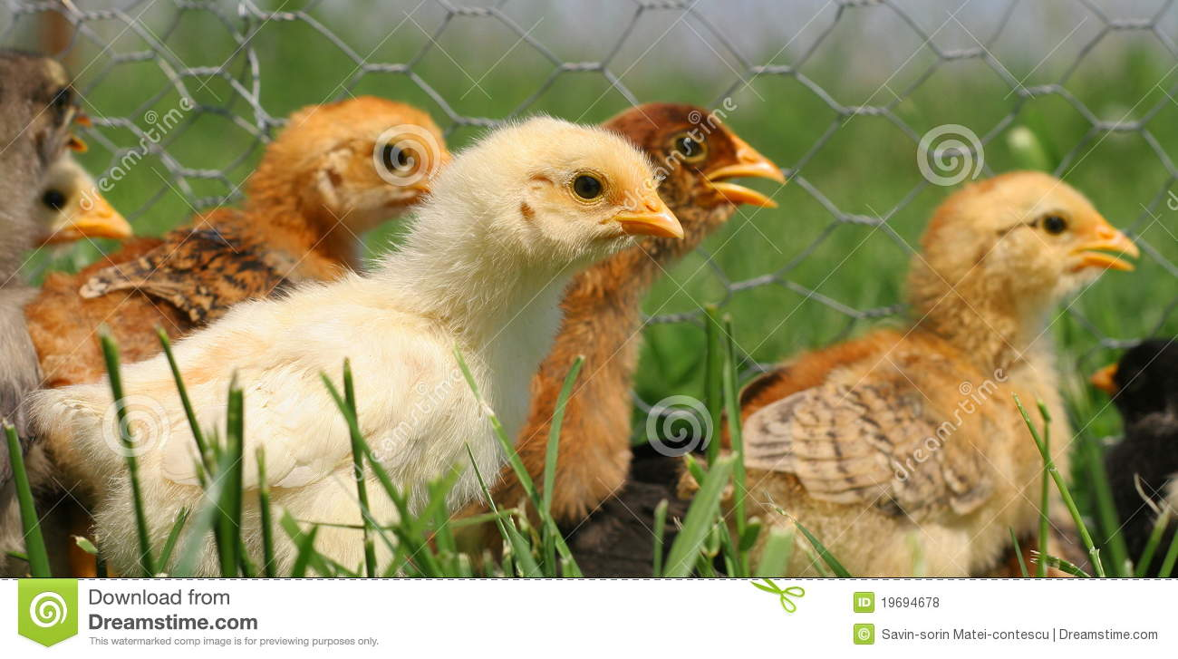 little easter chickens running stock photo image of curious