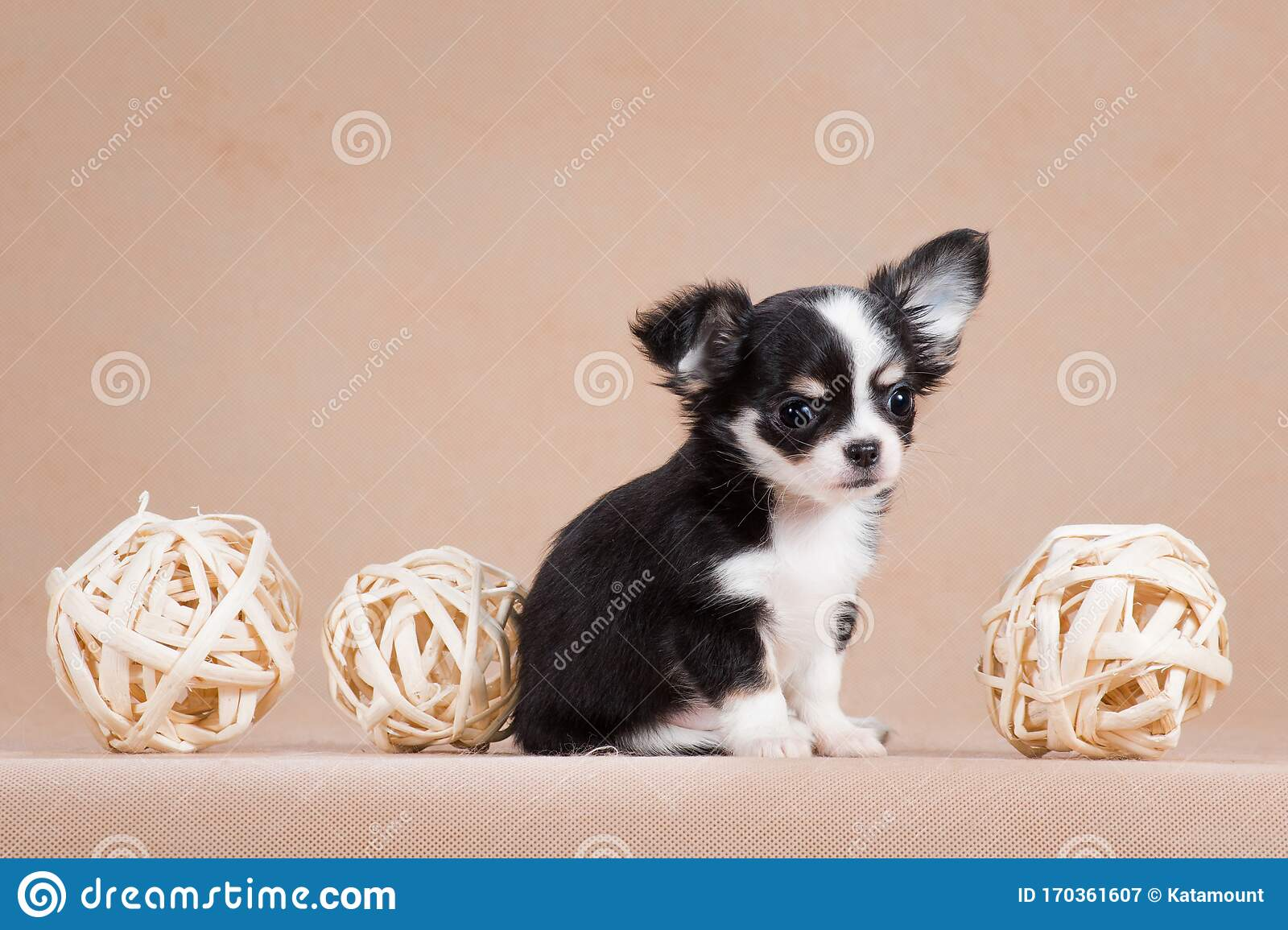 Little Chihuahua Puppy With Three Balls Stock Image Image Of Predator Black 170361607