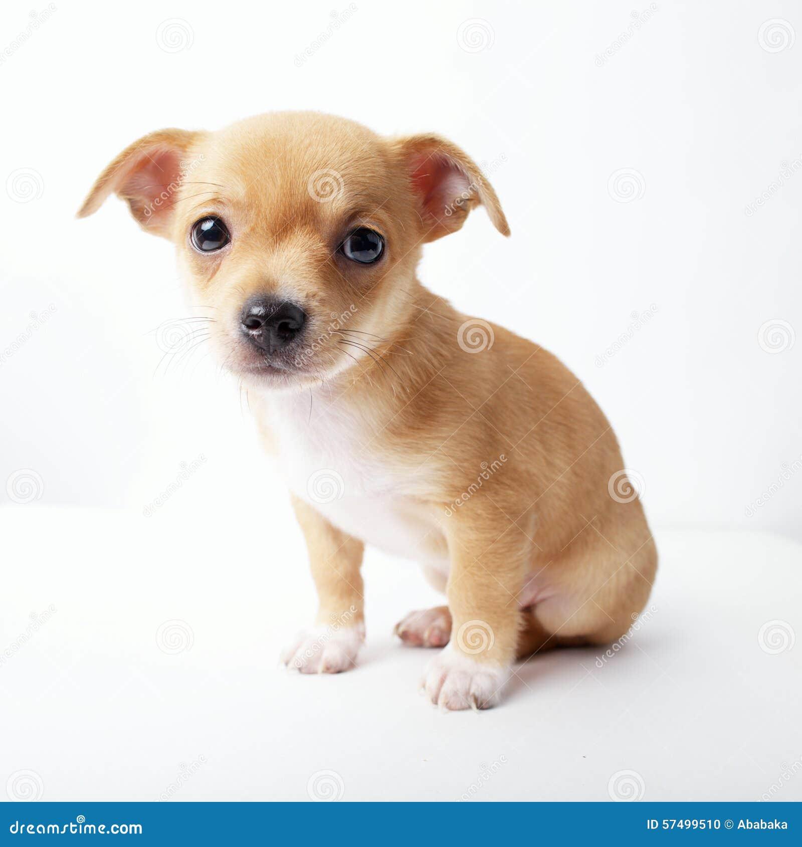 dog chihuahua background - photo #21