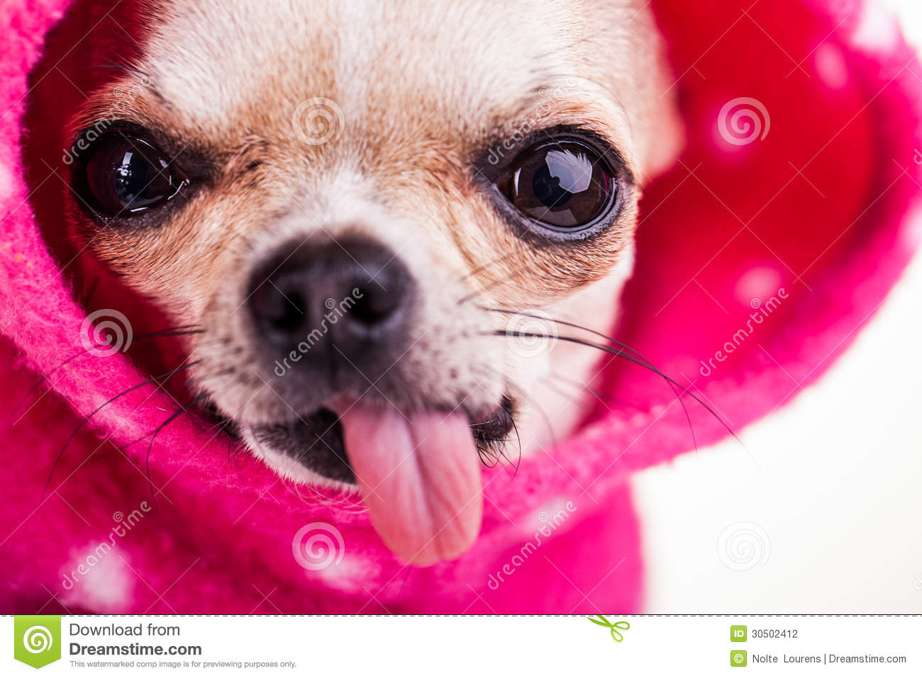 Little Chihuahua With Staring Eyes And Tongue Out. Stock ...