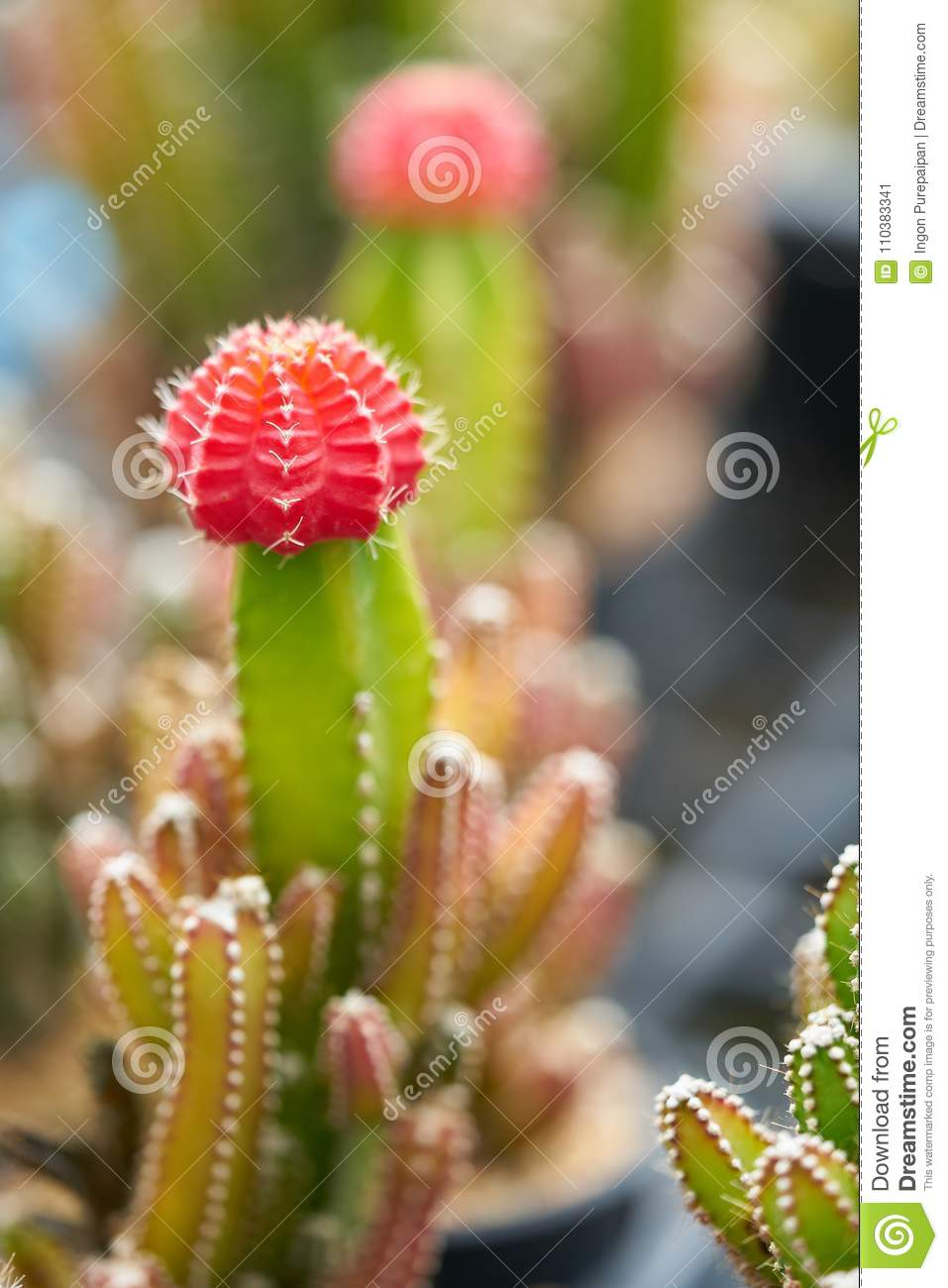 Little Colorful Cactus Plant In A Small Pot House Plants For Home