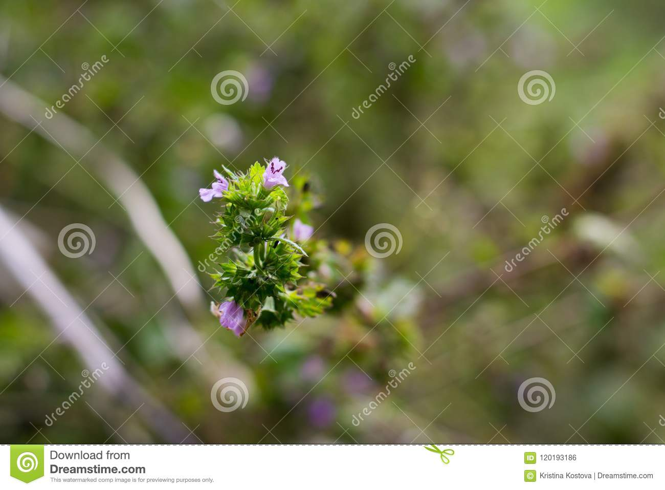 Little Common Pink Tiny Flowers And Green Branches Stock Photo