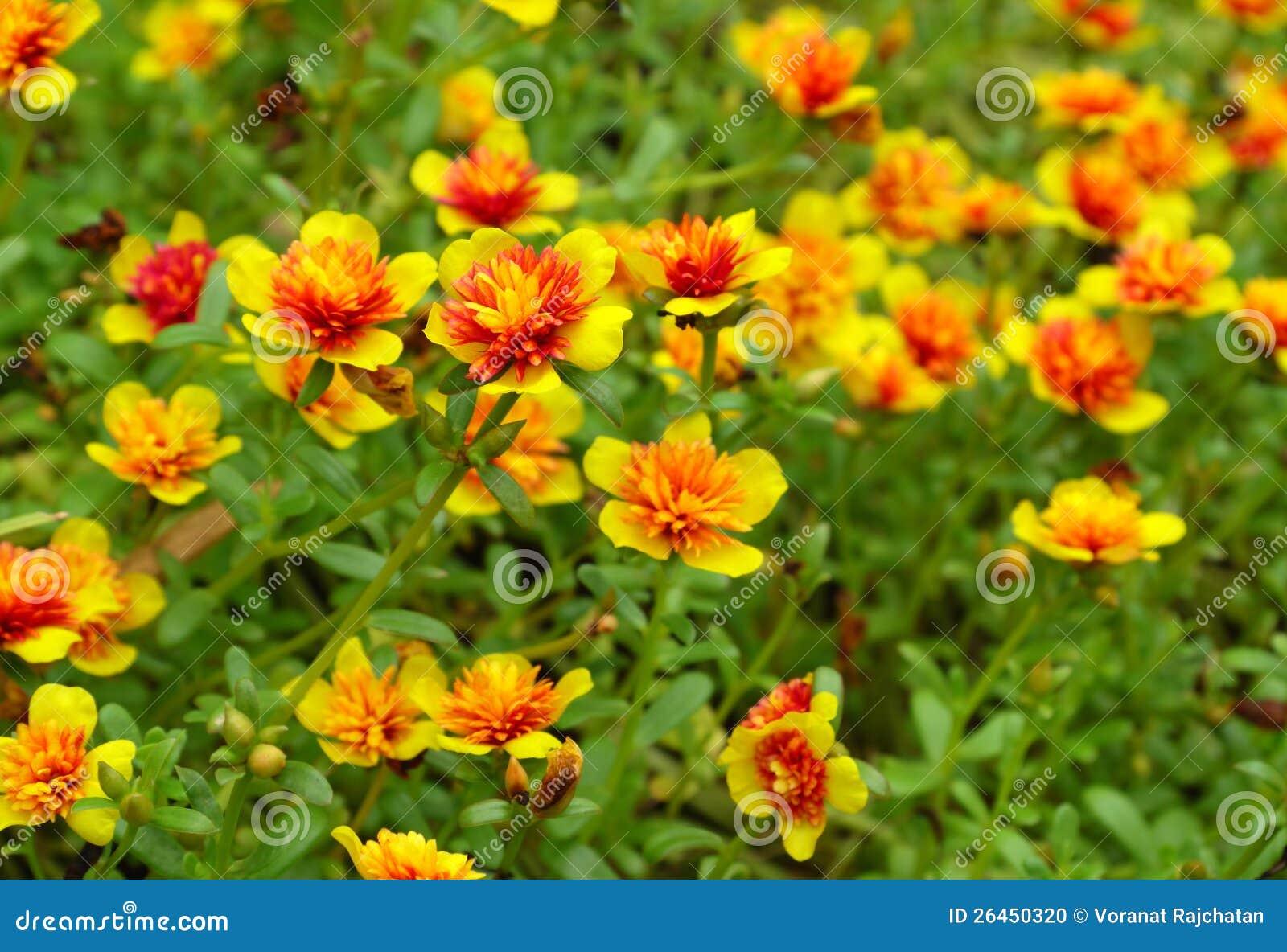 Little Common Purslane Flowers Stock Photo - Image: 26450320