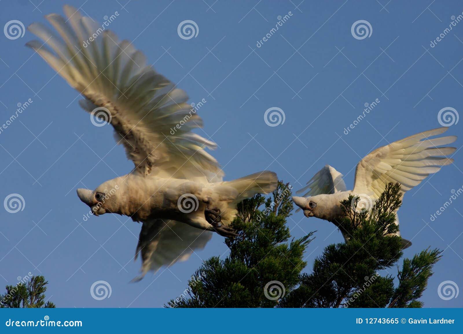 Little Corella parrots