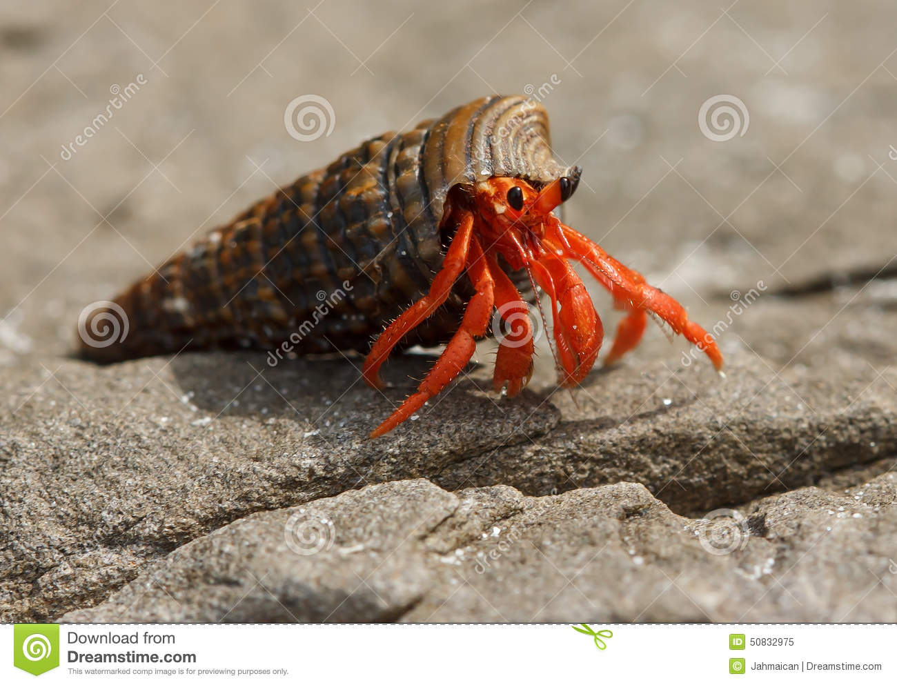 crab stock photos images u0026 pictures 60 704 images