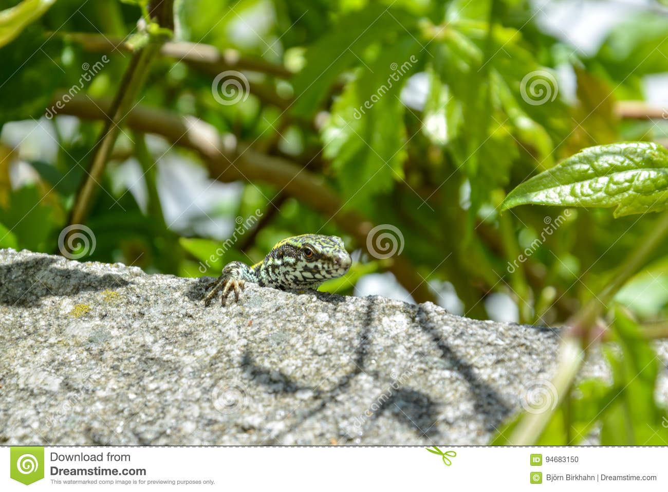 A little curious lizard sits on a rock